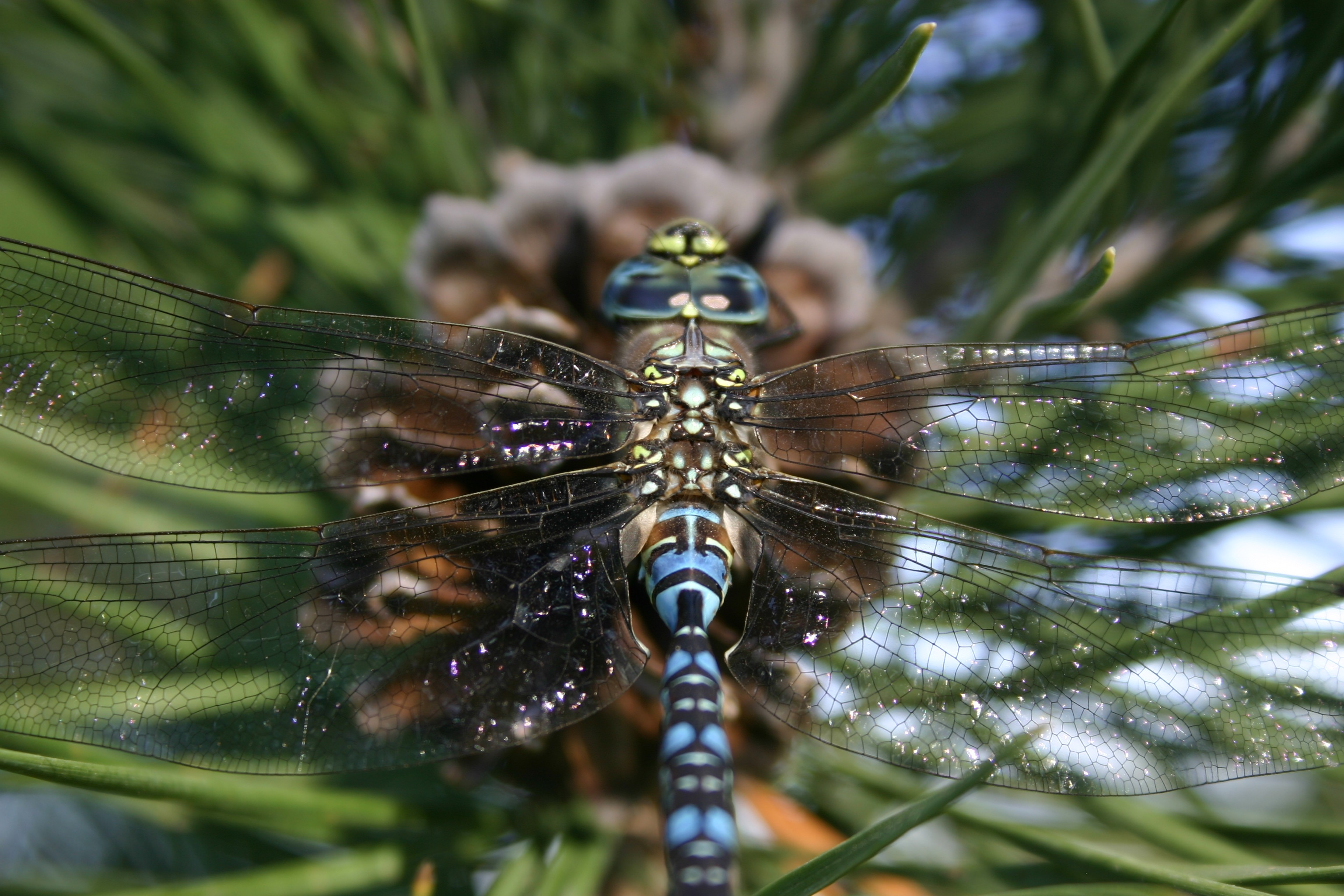 Closeup of a blue dragonfly on a pinecone.