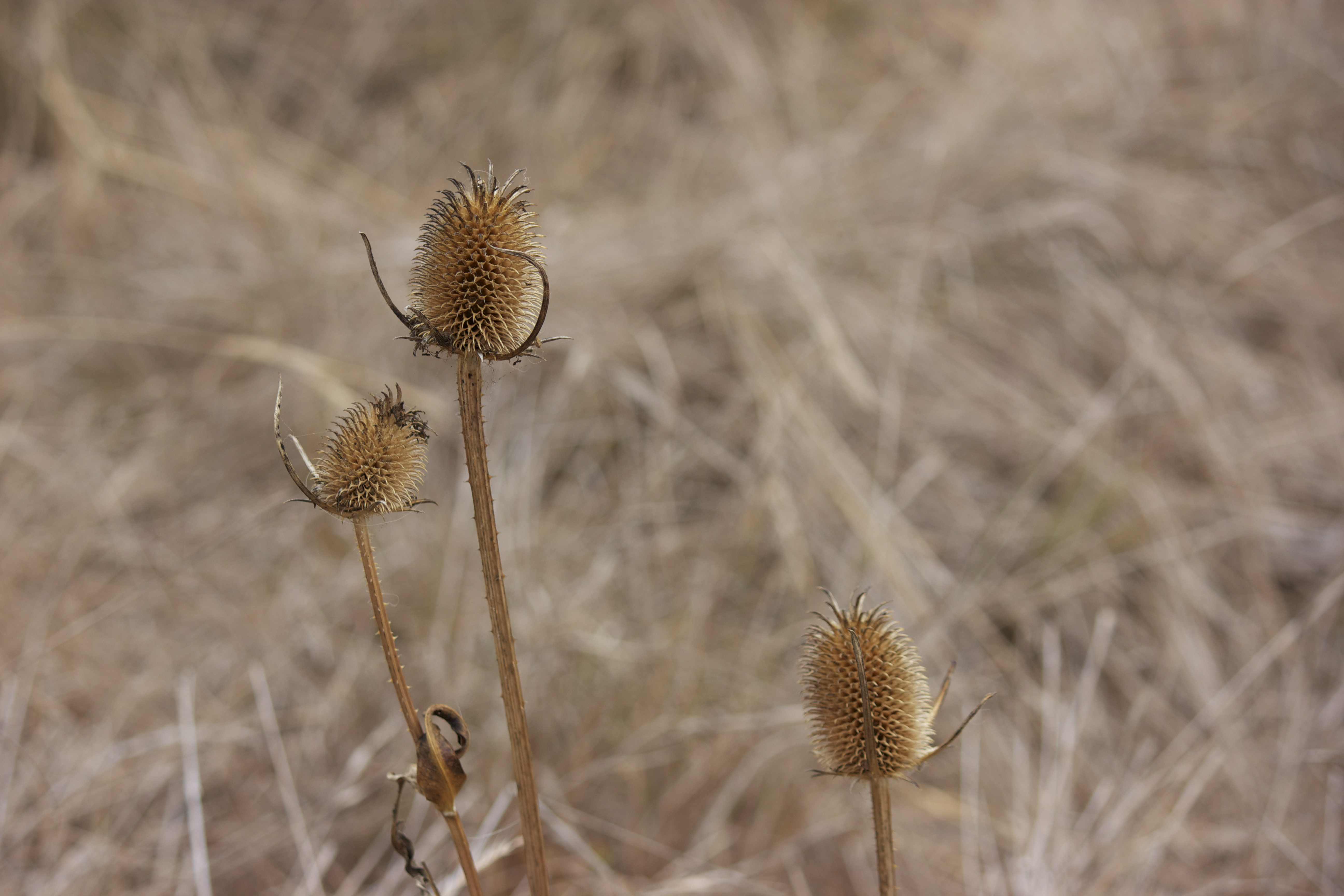 Dried thistles against a pale brown background.