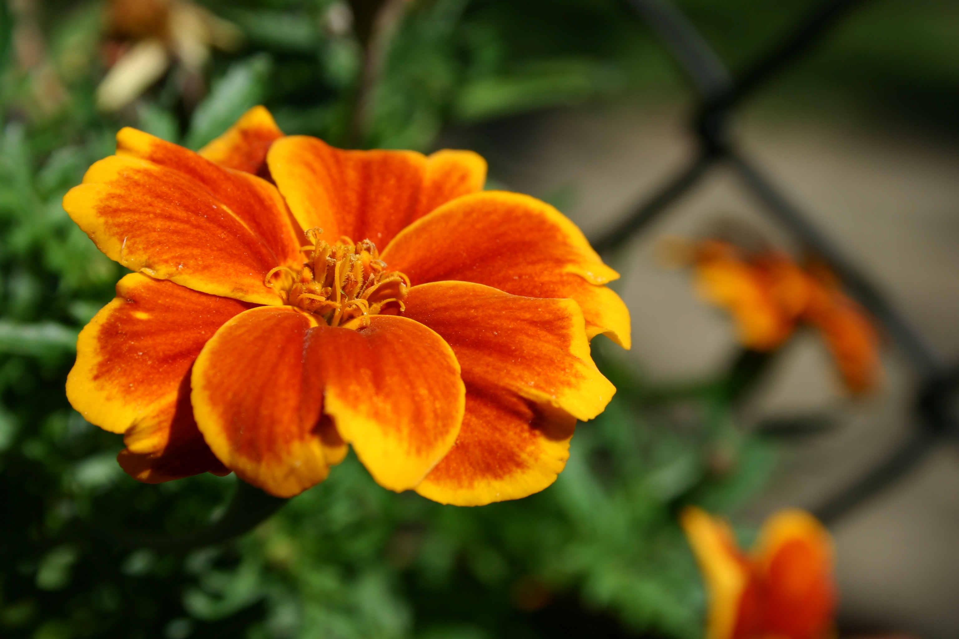 """Red Marietta"" marigold flower."