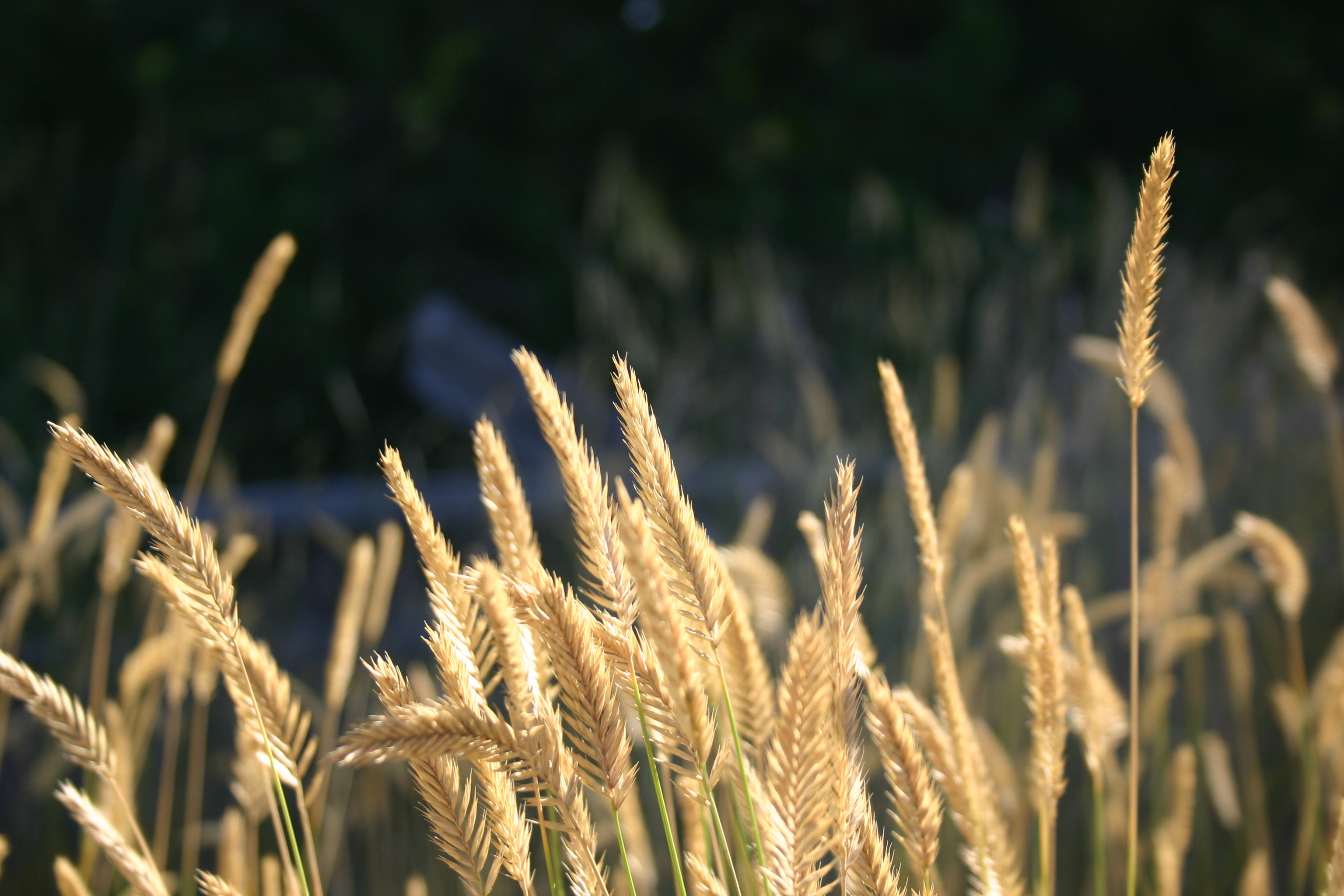 Stalks of wheat (or a similar plant).