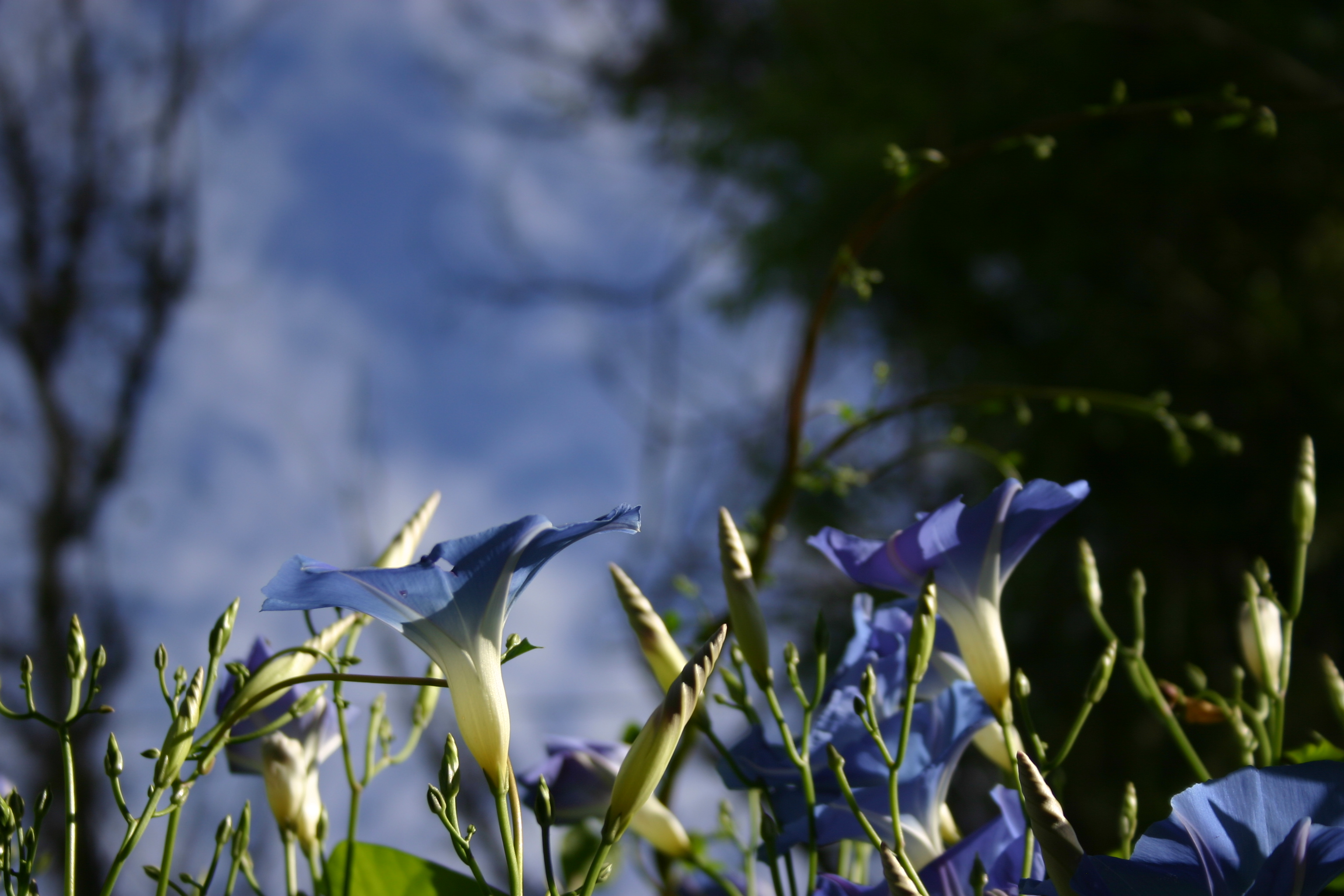 """Heavenly Blue"" morning glories reach for the sky."