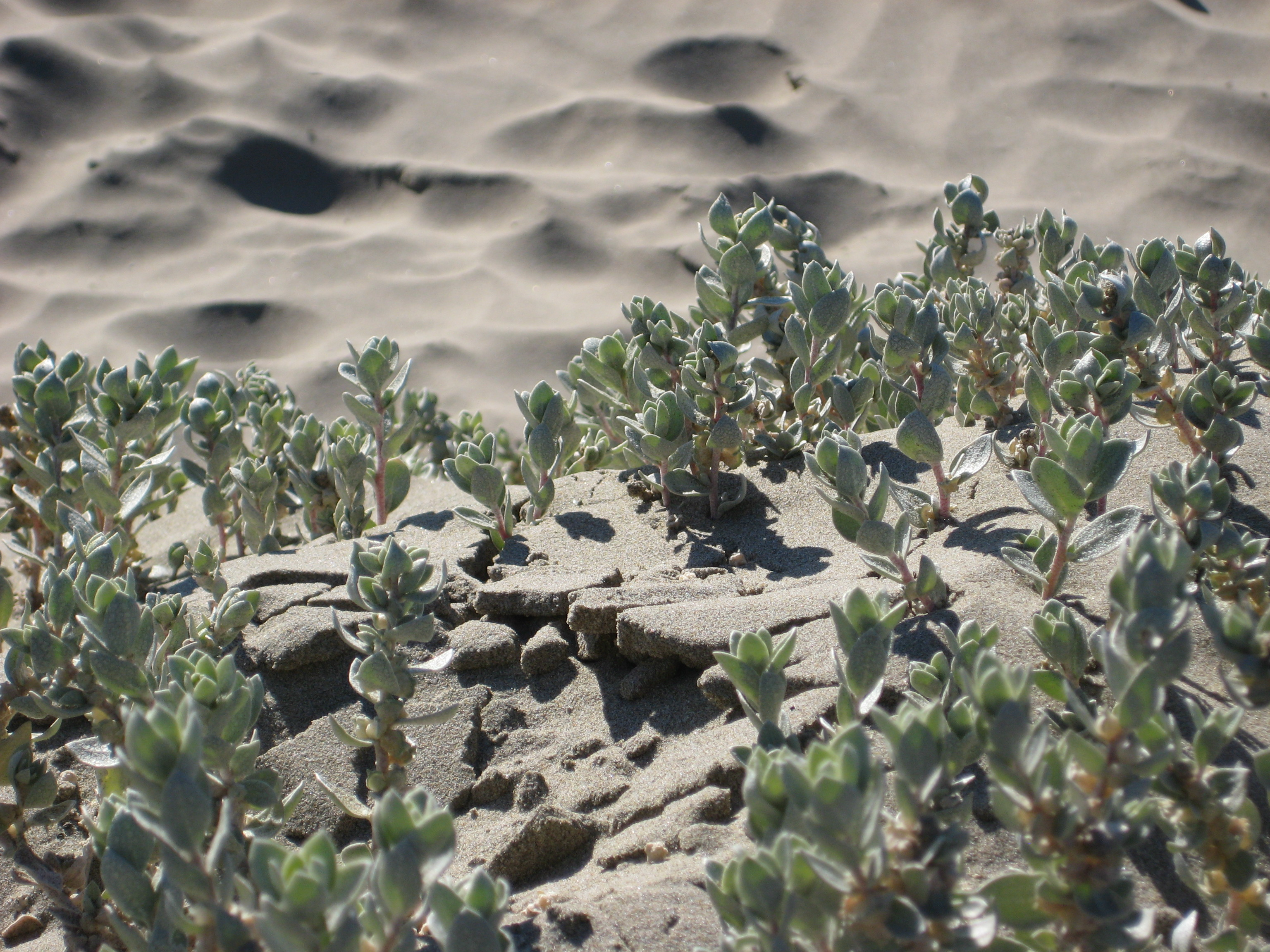 Succulent plants growing in the beach sand in Morro Bay, California.