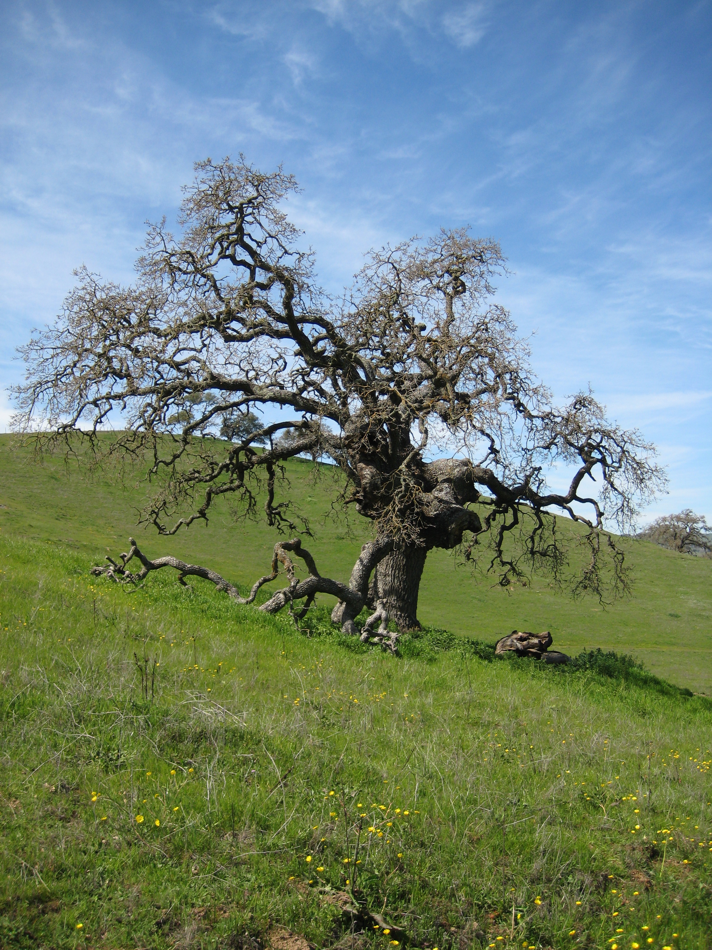 A gnarled tree stands alone on a hillside in Pacheco State Park, California.