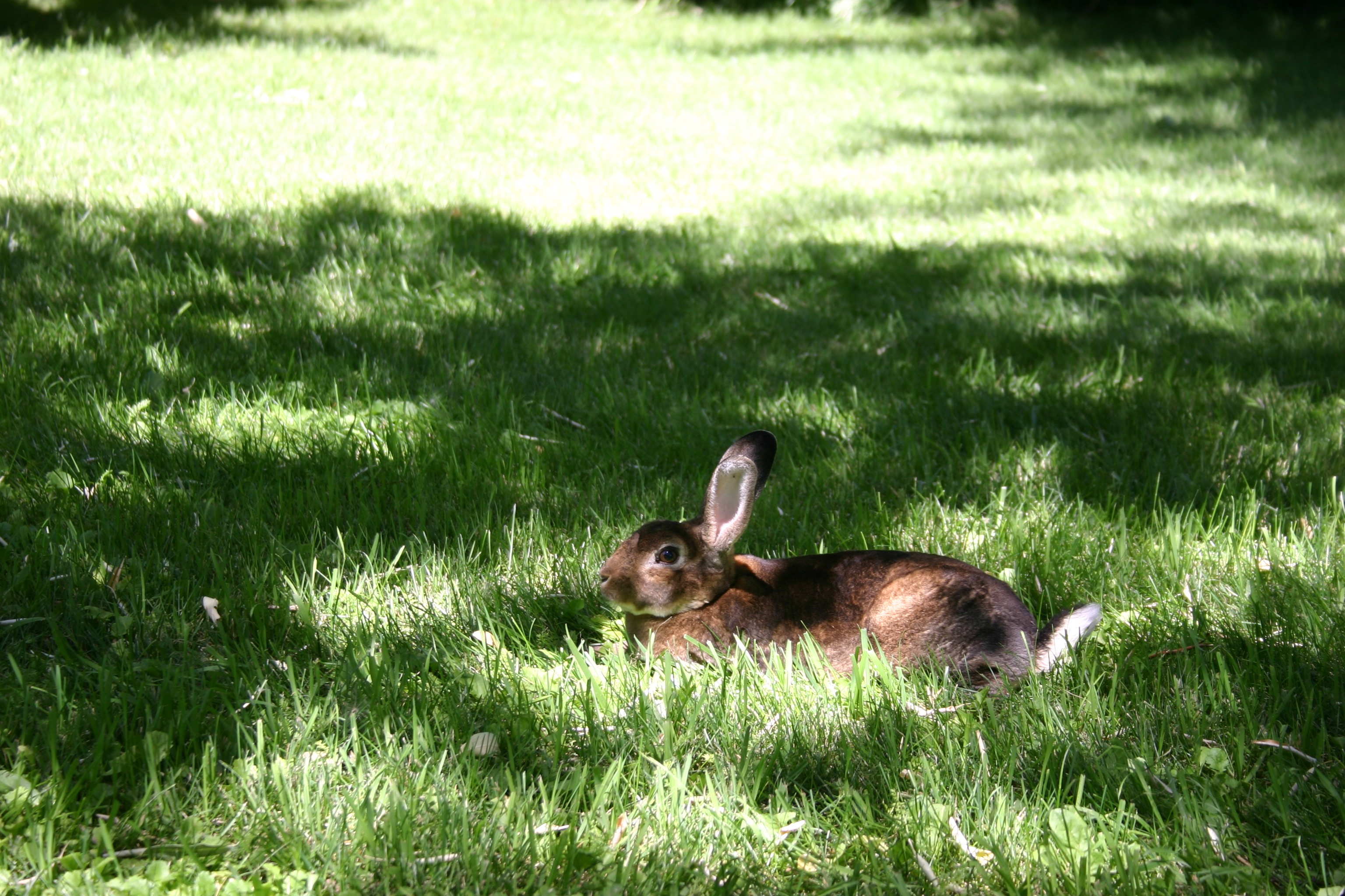 Brown bunny rabbit laying on the green grass.