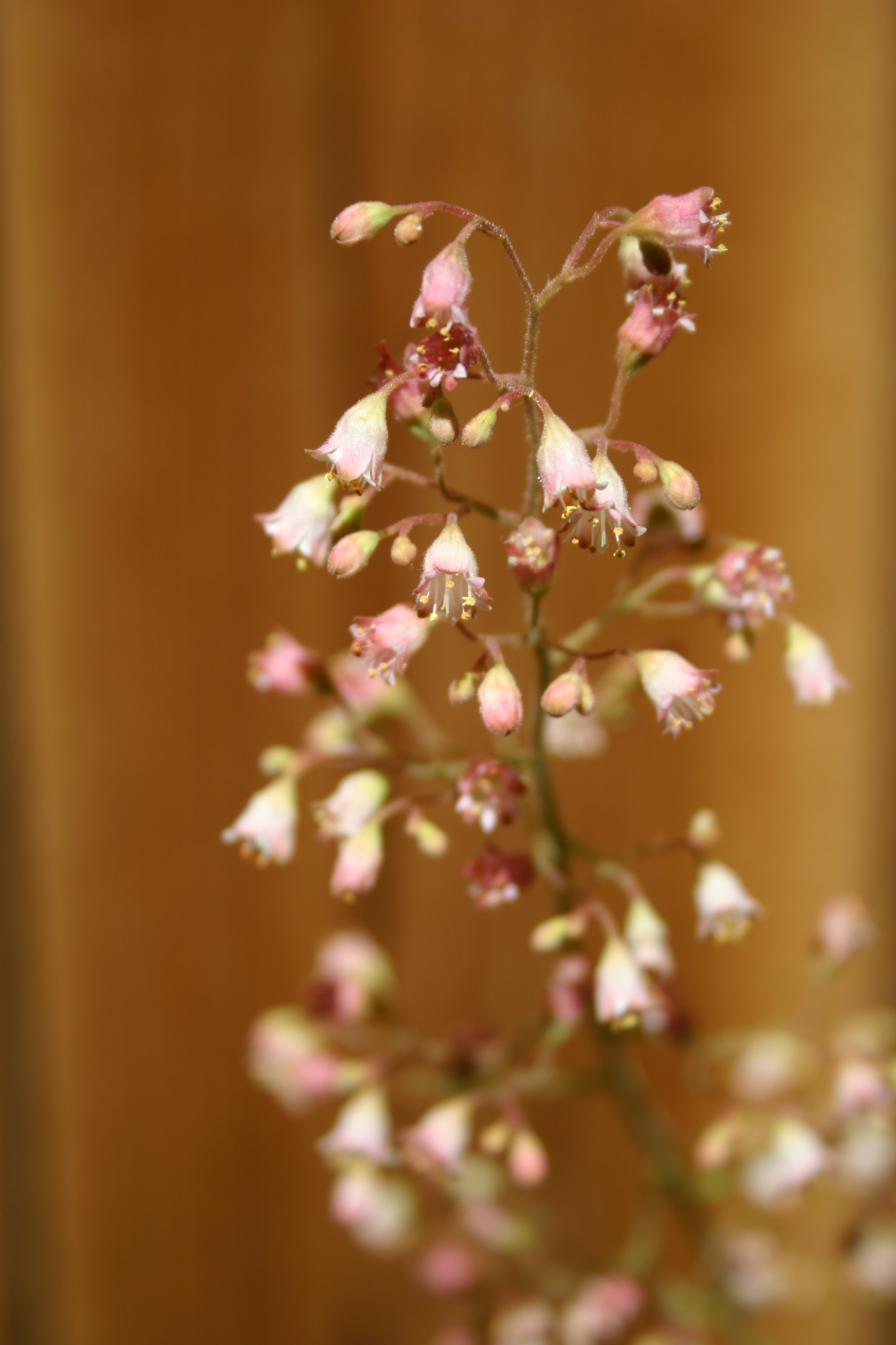 Tiny pink blooms on a flower stalk from a Heuchera plant, AKA Coral Bells.