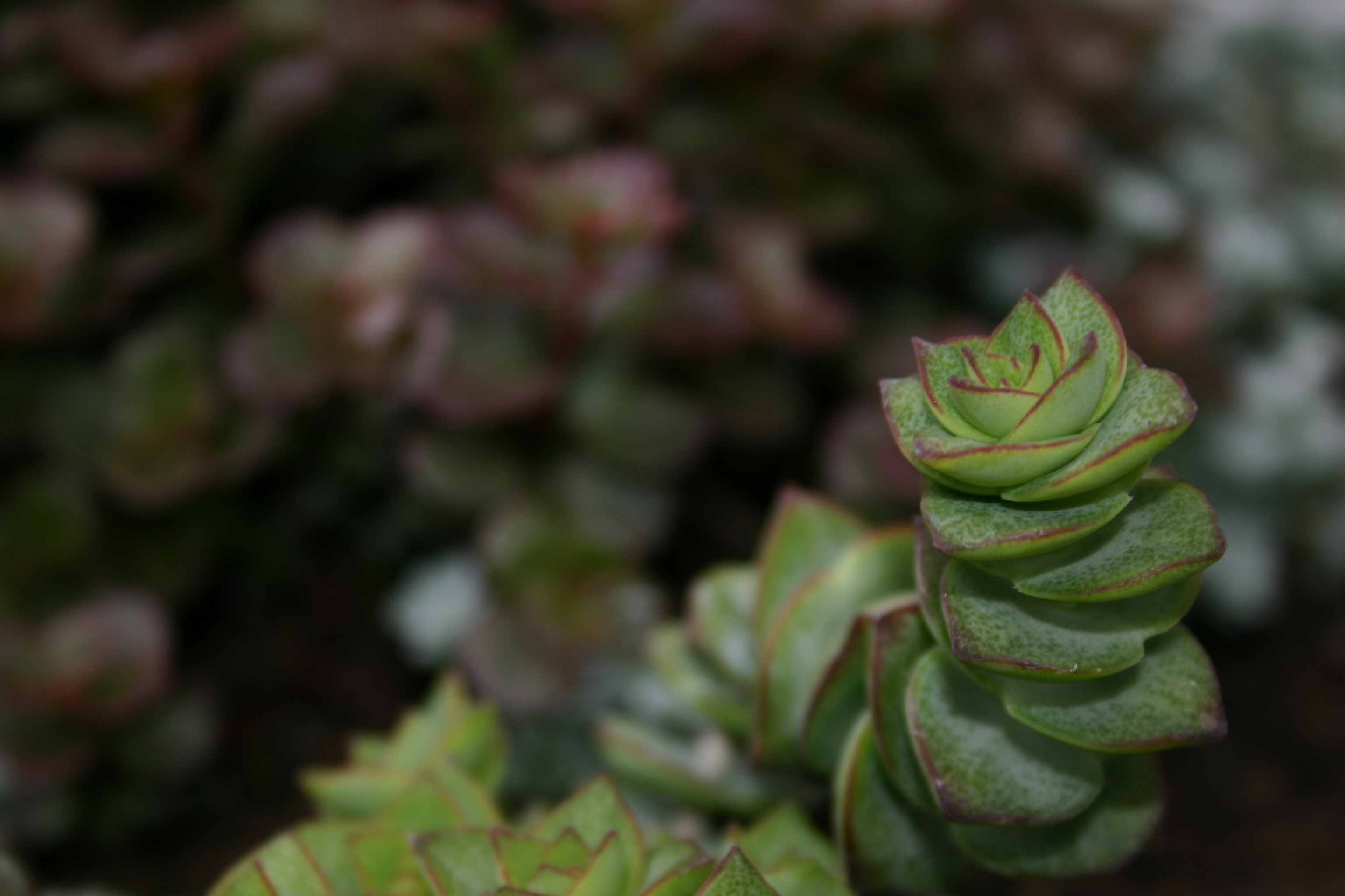 A succulent plant -- Crassula perforata variegata, AKA Necklace Vine or String of Buttons.  Bright green leaves with dark red edges.