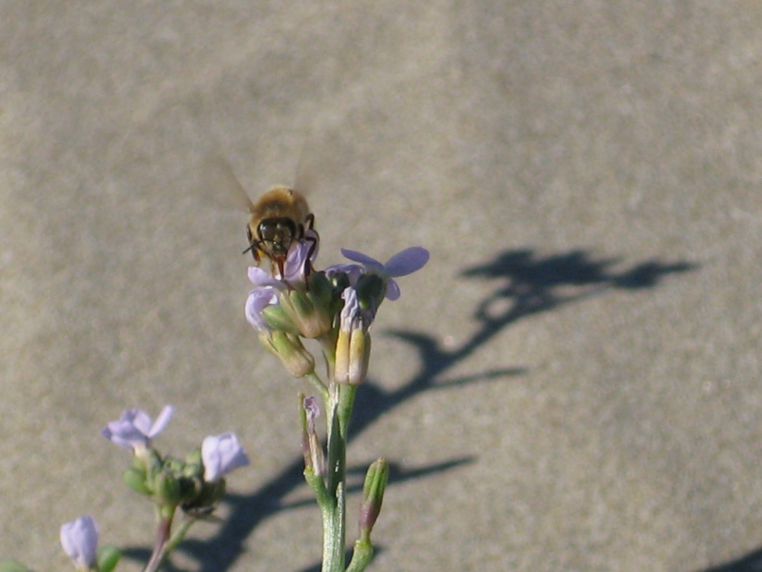 A bee hovering over a purple flower at the beach in Morro Bay, California.