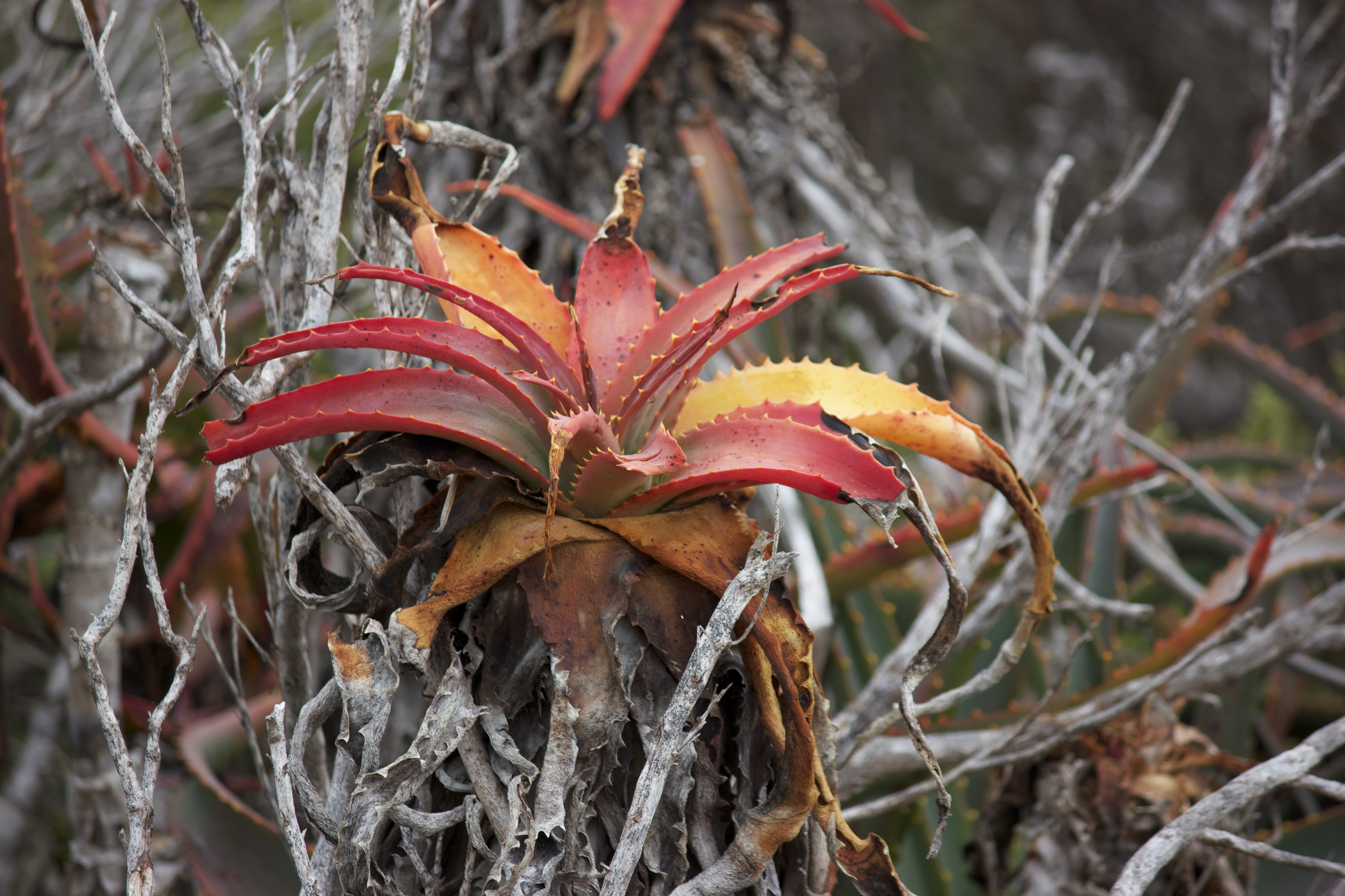 A strange alien-looking red succulent plant grows on a scrubby coastal region.