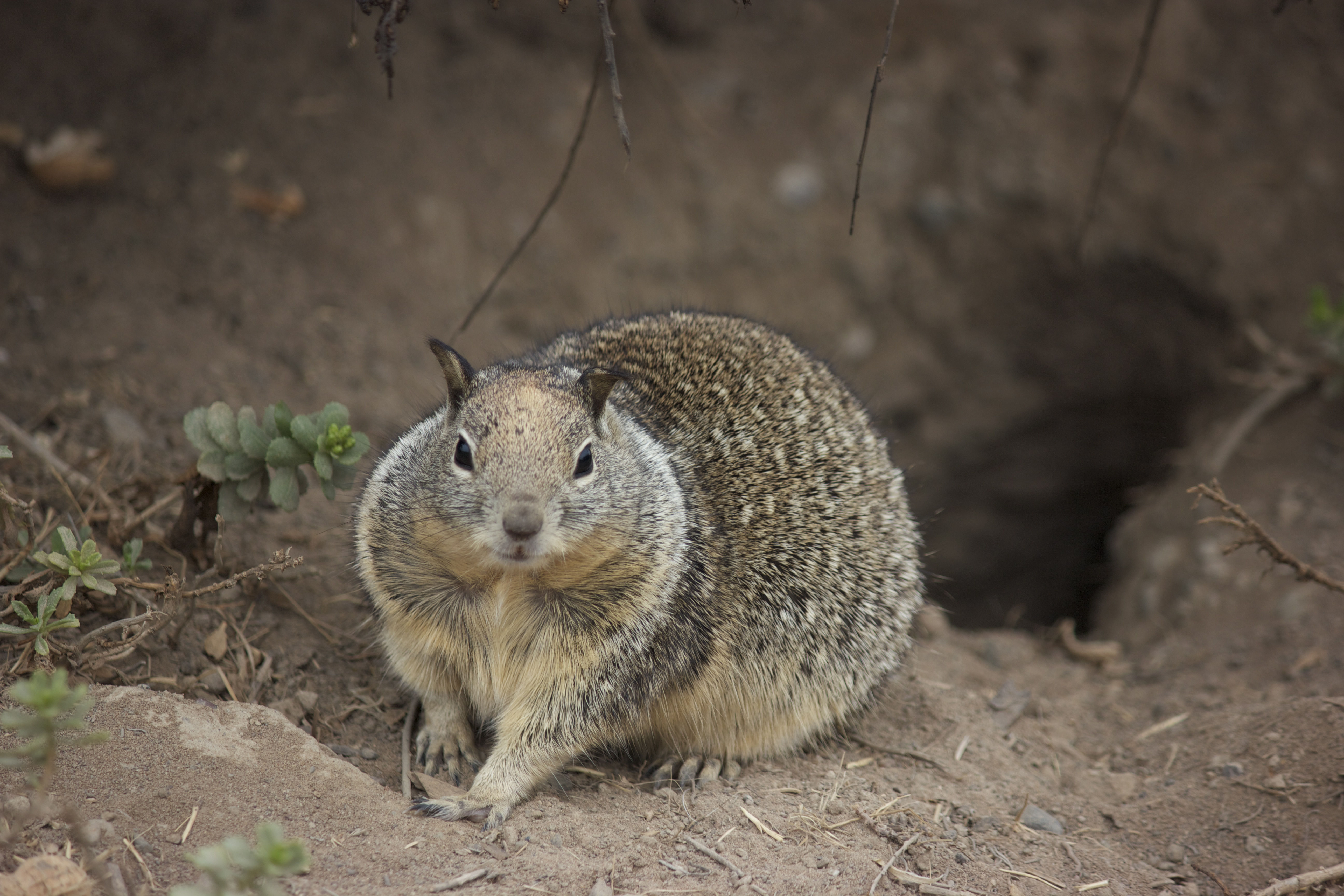 Ground squirrel, in front of the hole he calls home.