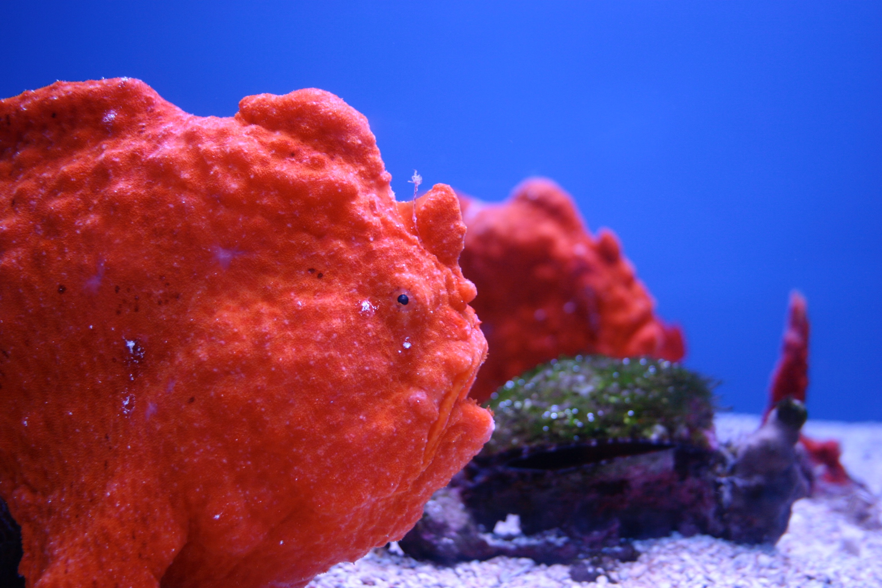 This lumpy bumpy strange red sea creature is called a frogfish.