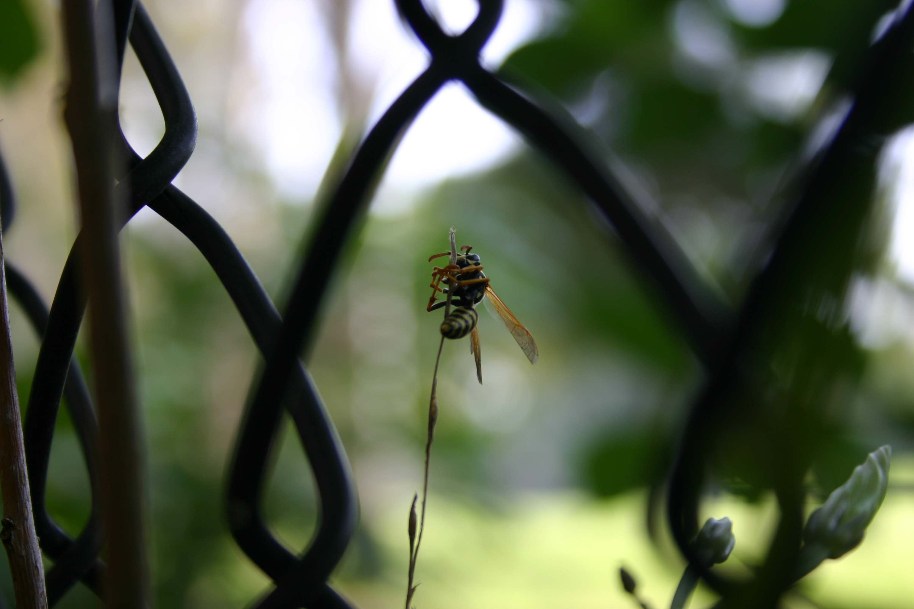 A wasp grasping a thin weed.  (Taken through a chain-link fence.)