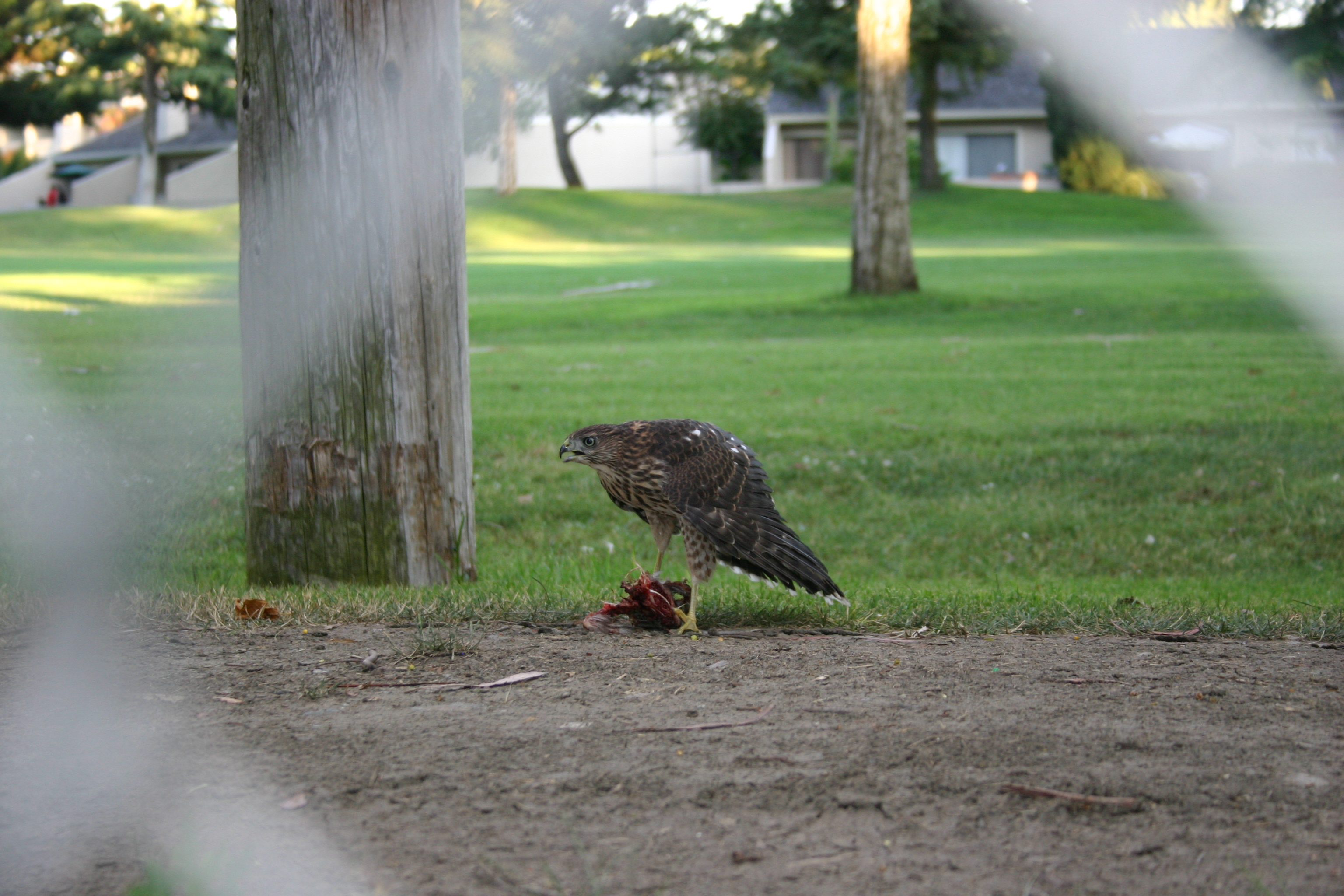 This is either a Sharp-shinned Hawk or a Cooper's Hawk, eating a smaller bird. I believe it is a juvenile (fledged some weeks ago). This hawk family lived in a eucalyptus tree on a golf course.