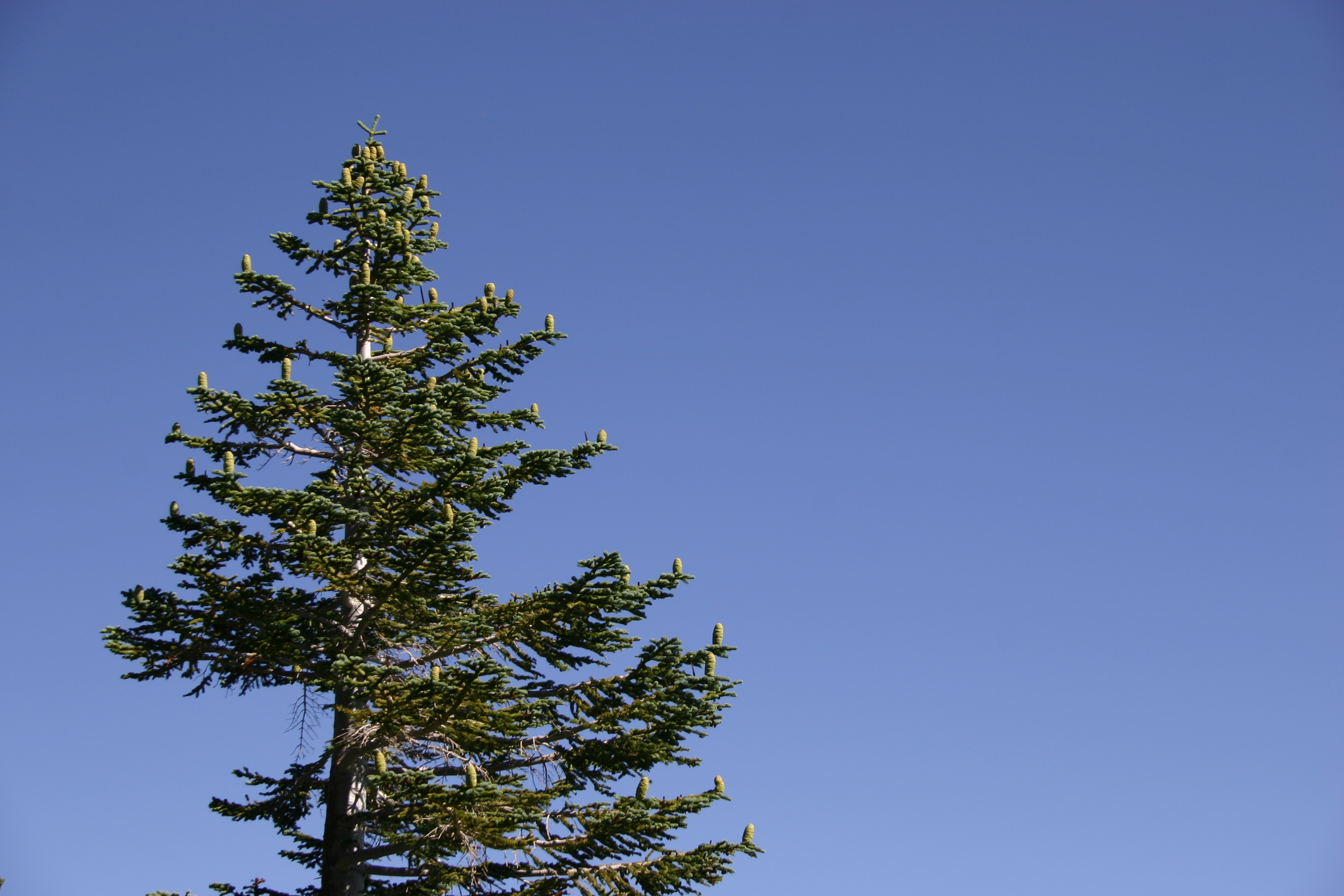 A pine tree near Mammoth Lakes. (If anyone knows the species, please let me know and I'll add the info!)
