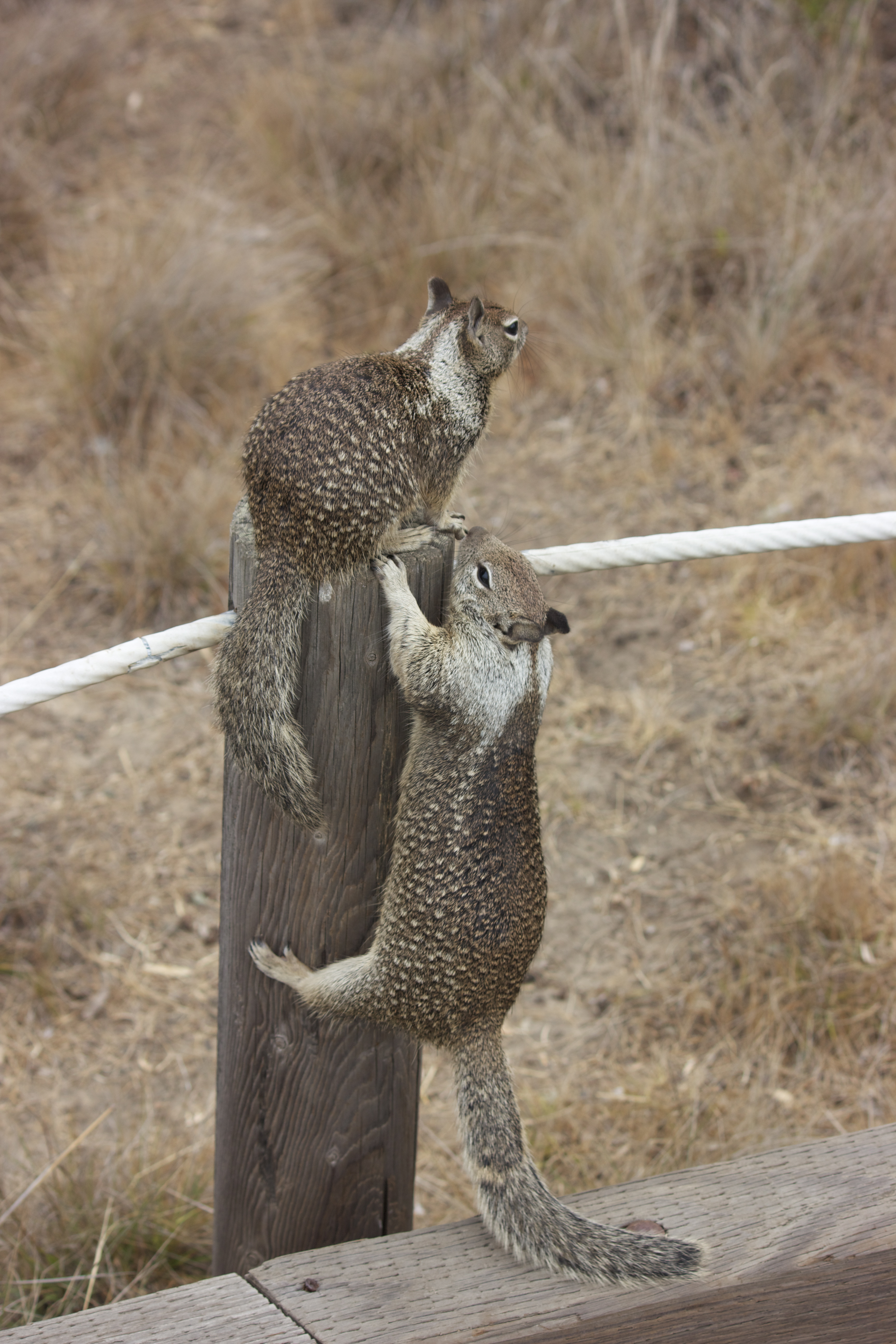 Two ground squirrels on a post, one sitting and one climbing.