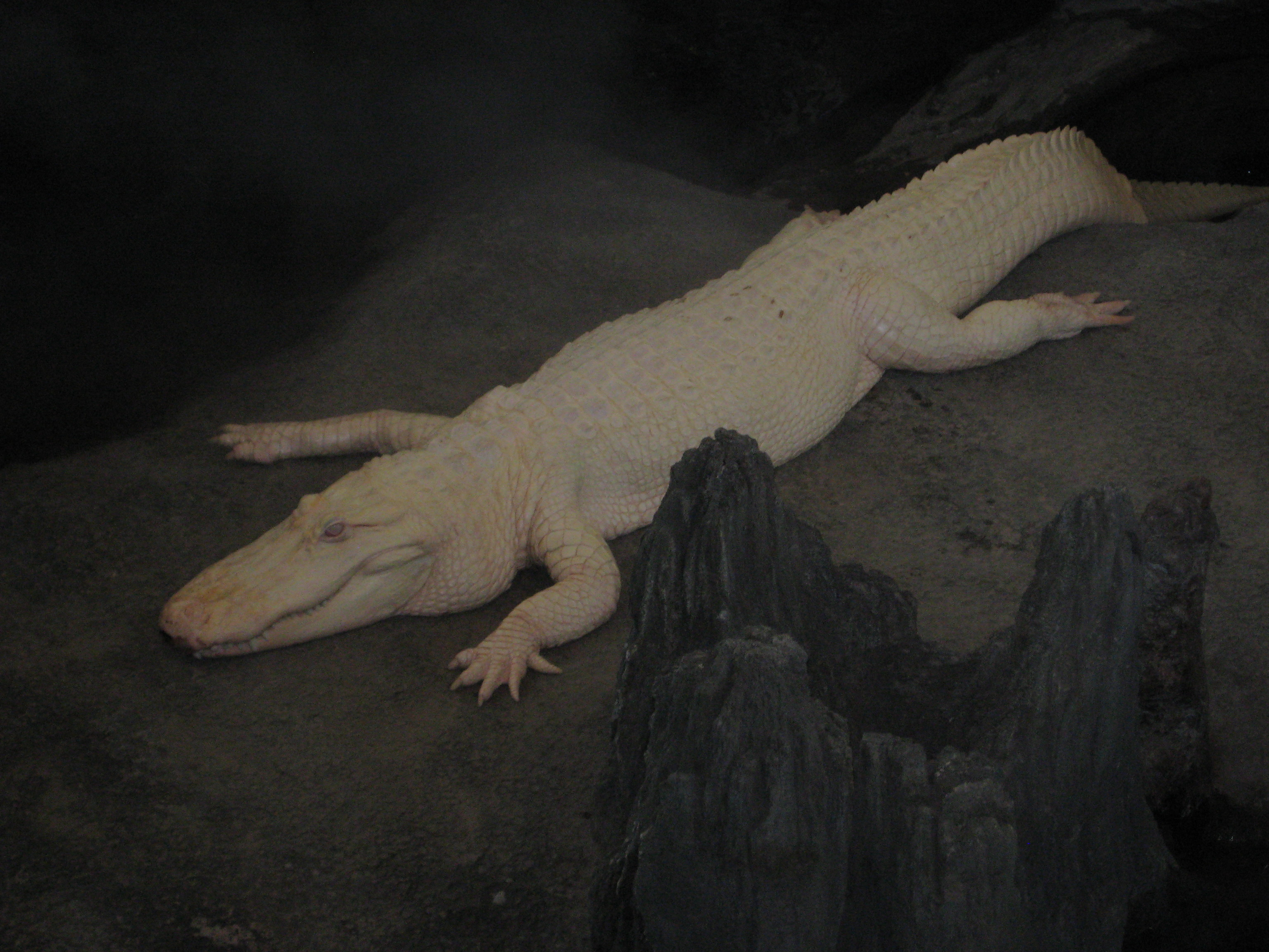 An albino alligator resides at the California Academy of Sciences.