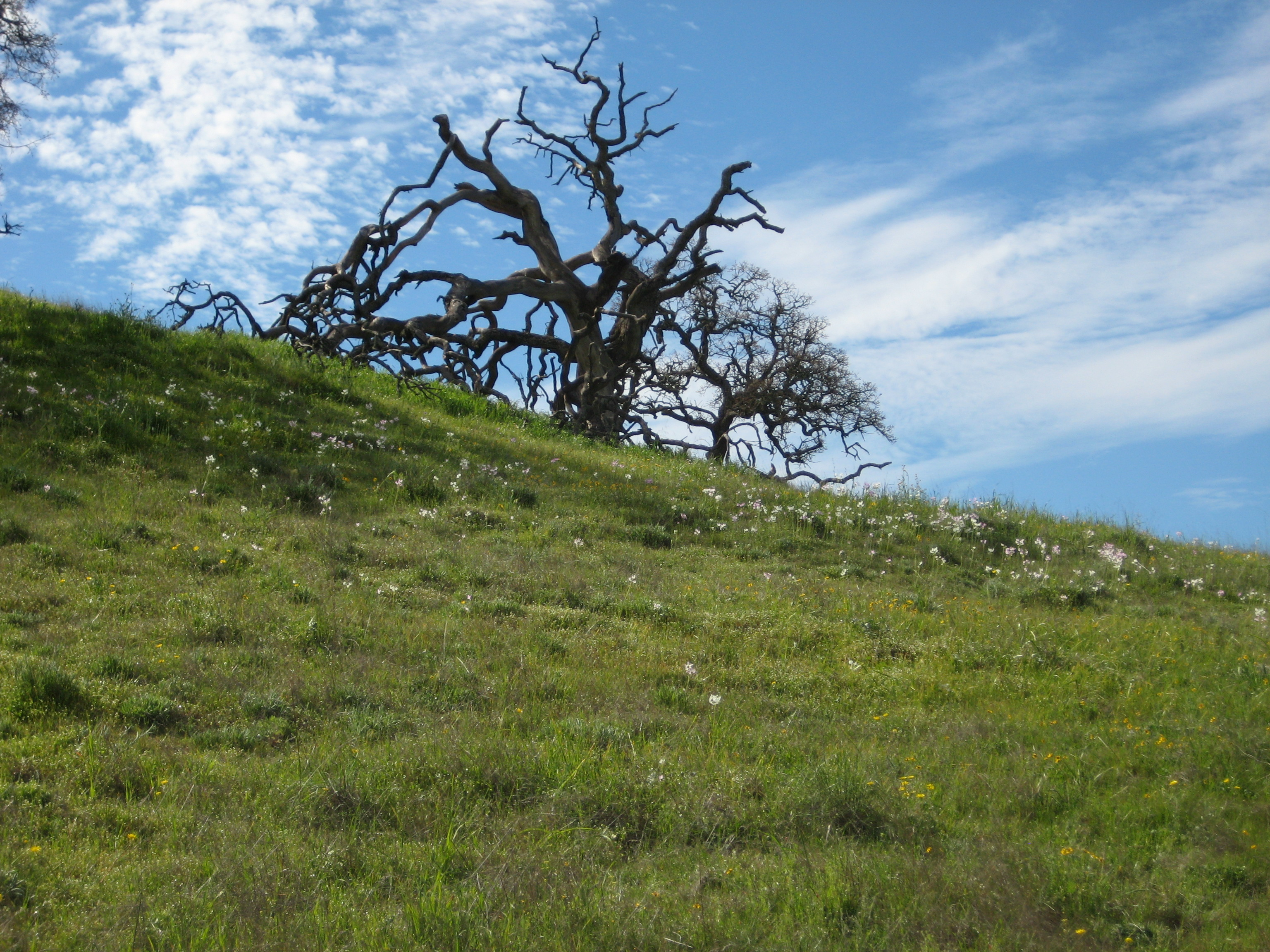 White wildflowers lead the way up a green hill to a gnarled tree against a bright sky in Pacheco State Park, California.