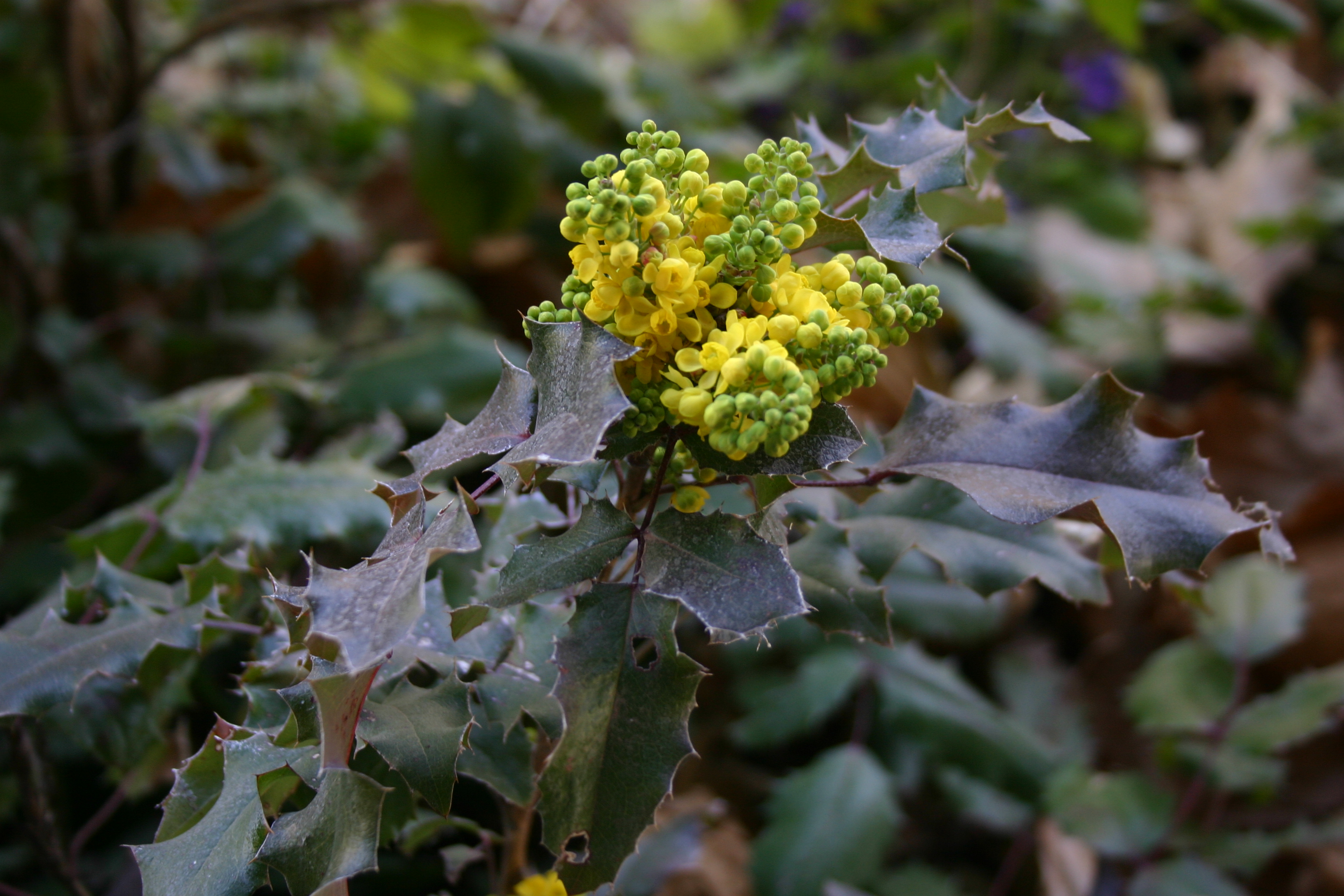 Yellow and green clusters of flowers resemble berries on a leafy bush.