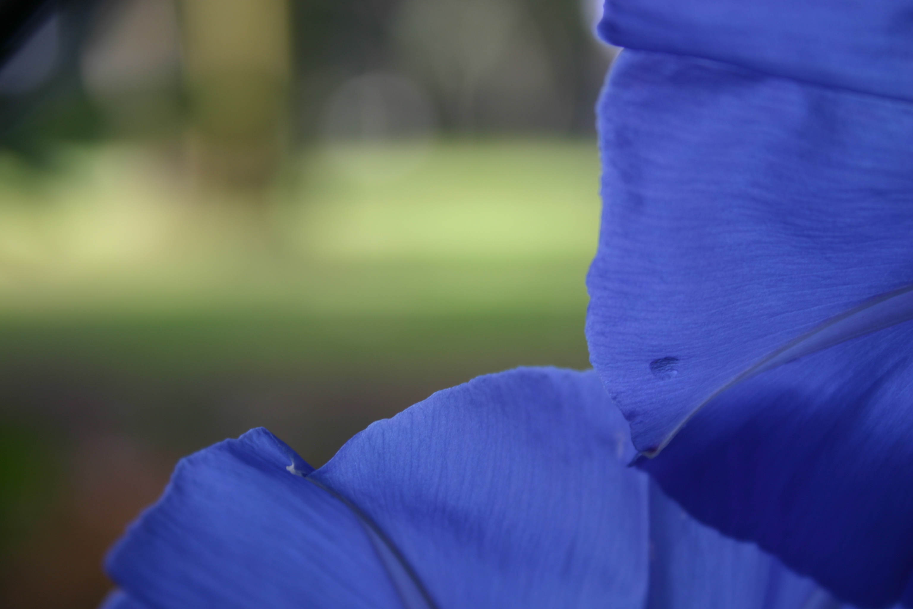 "A frame of ""Heavenly Blue"" Morning Glory petals."