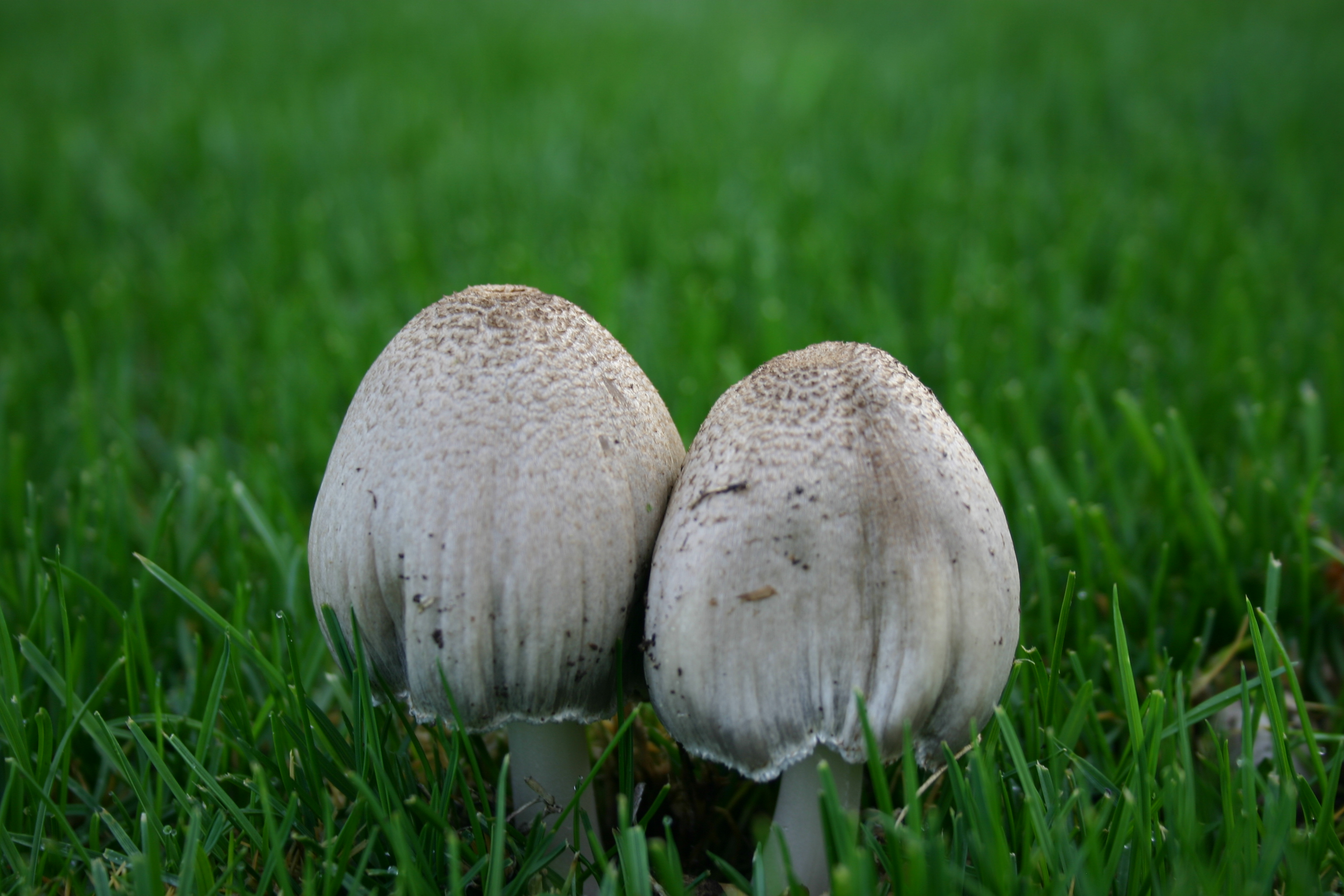 Two white mushrooms in green grass.