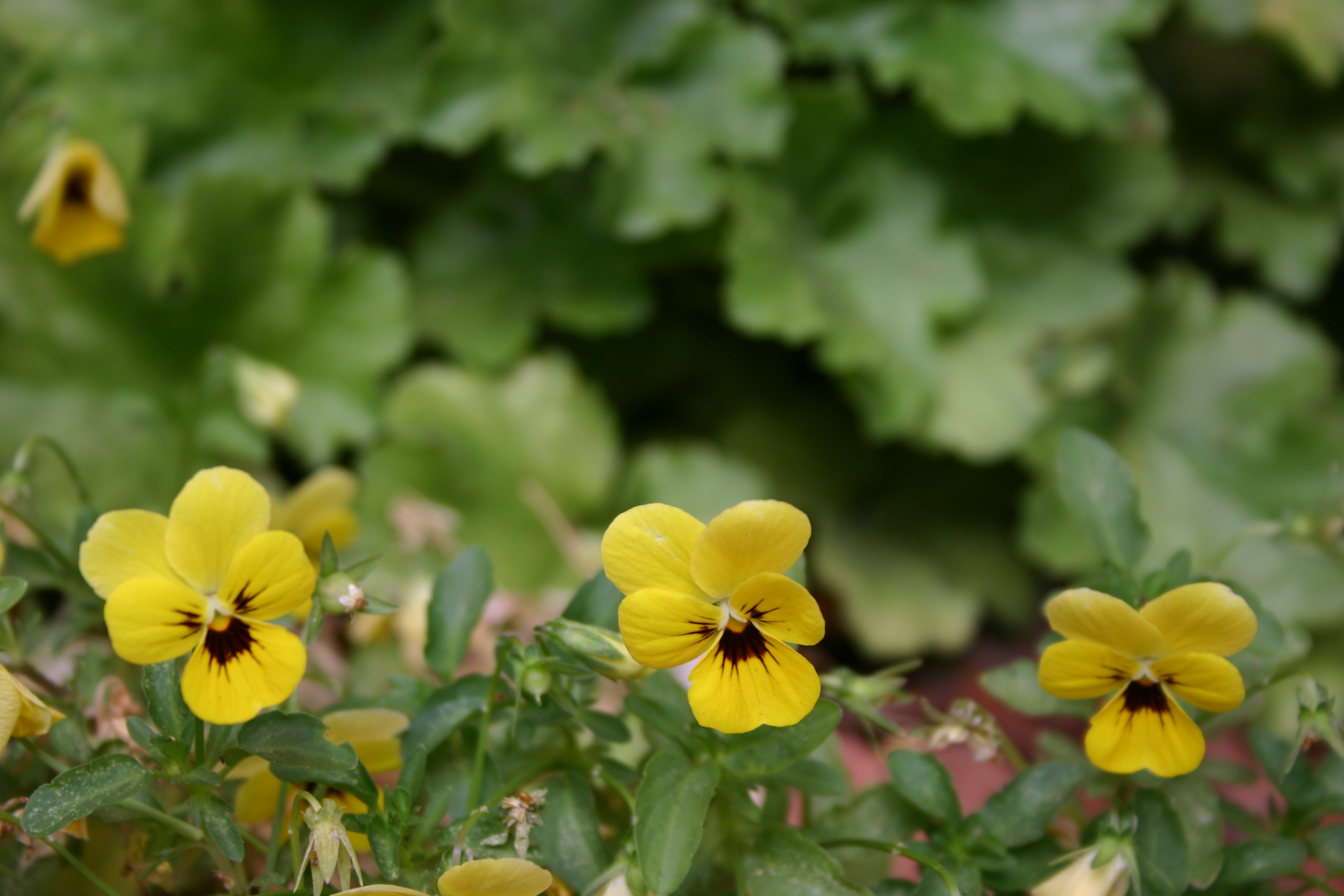 Yellow pansies in front of a green leafy background.