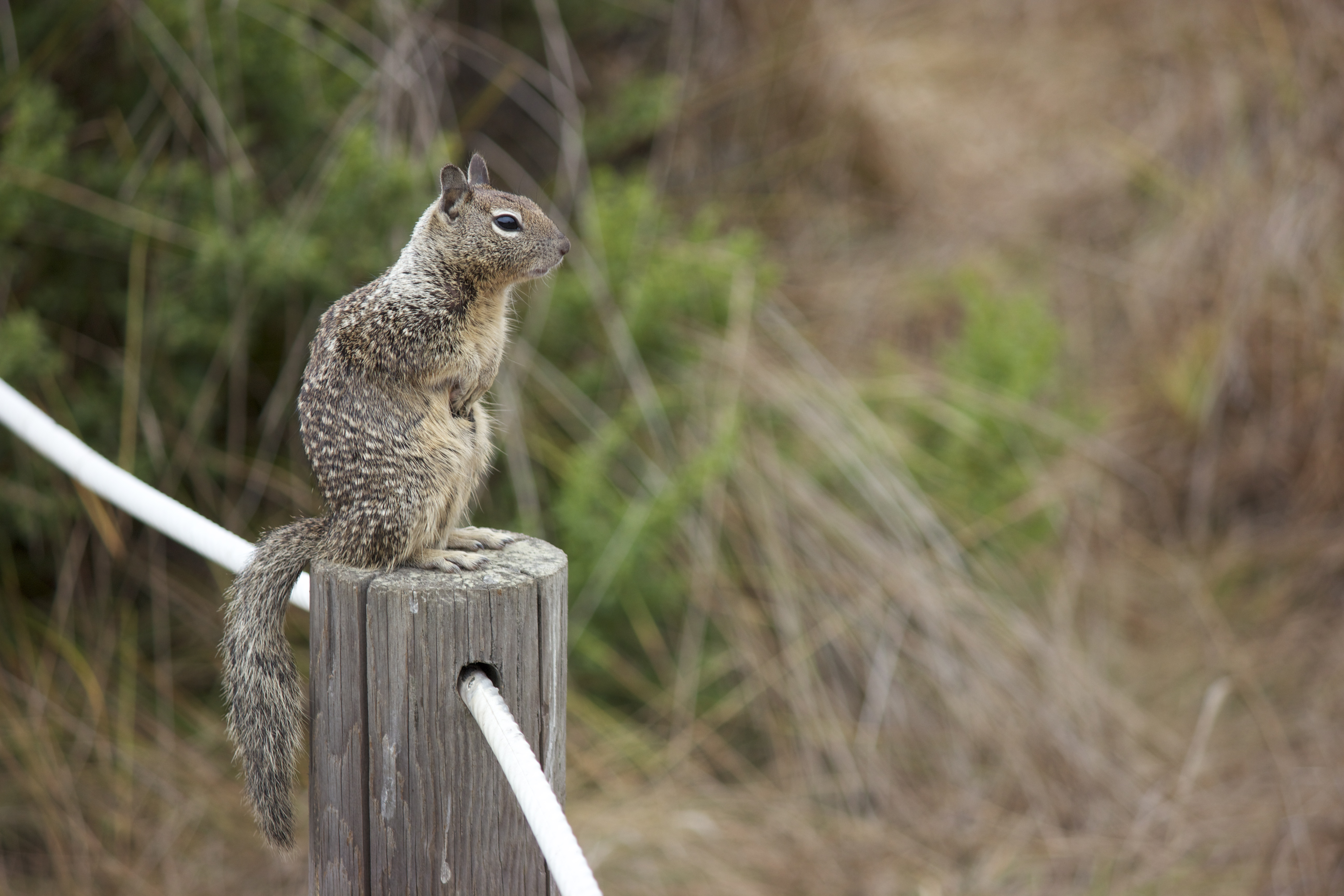 Ground squirrel, standing on a post.