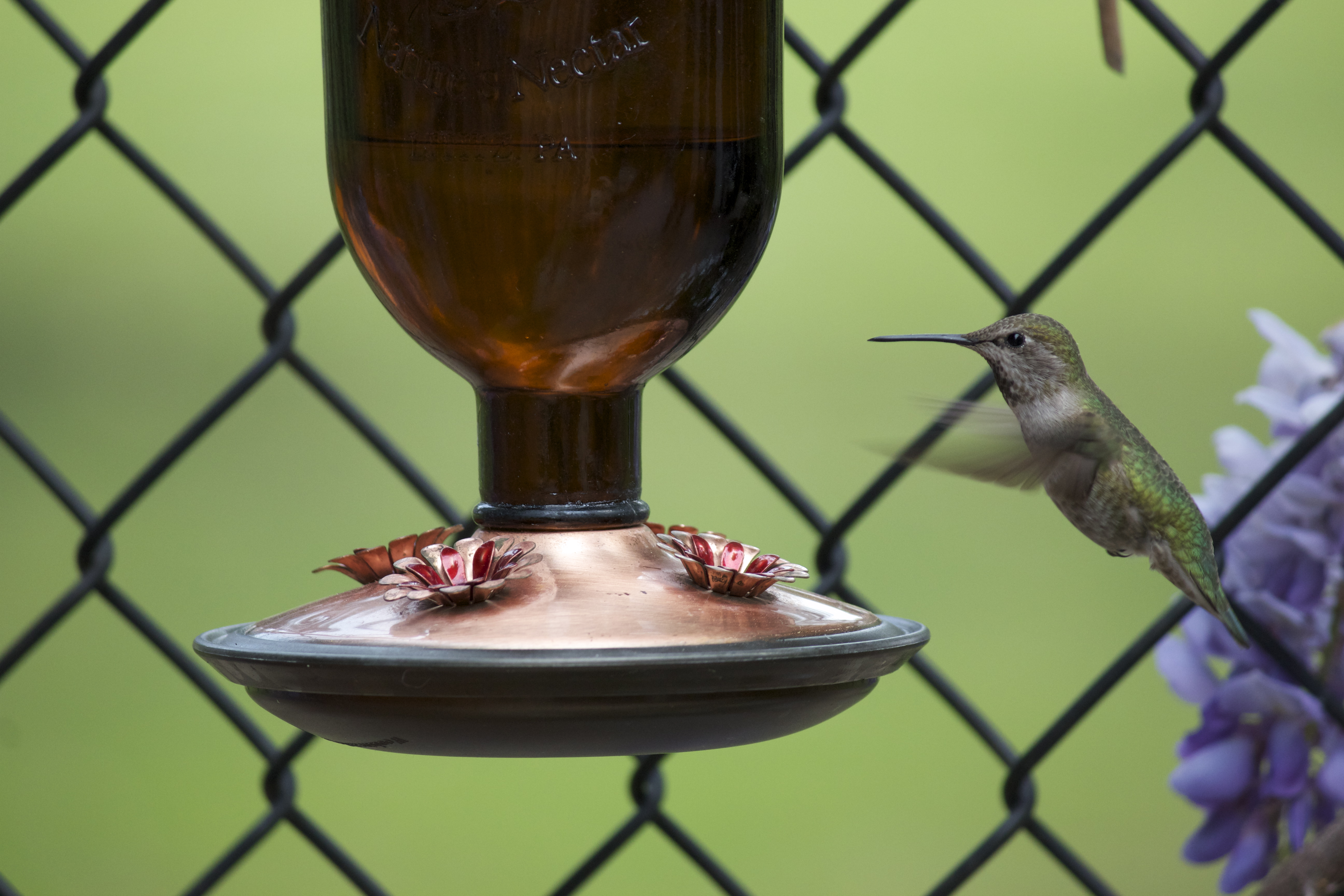 Hummingbird hovering in flight above a hanging feeder.