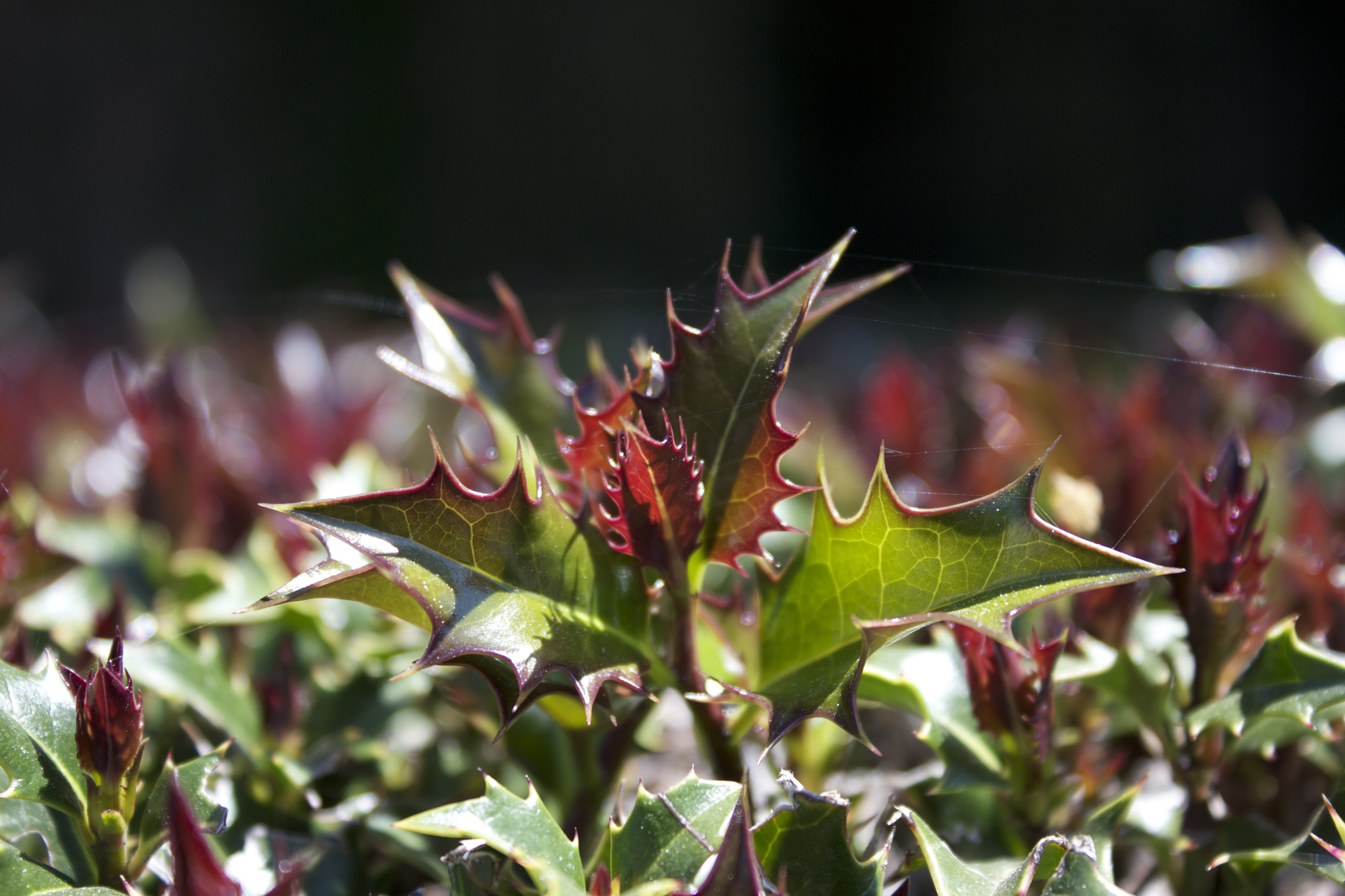 Closeup of spiky green and red leaves on a bush resembling holly (though I'm not sure that's what it is).