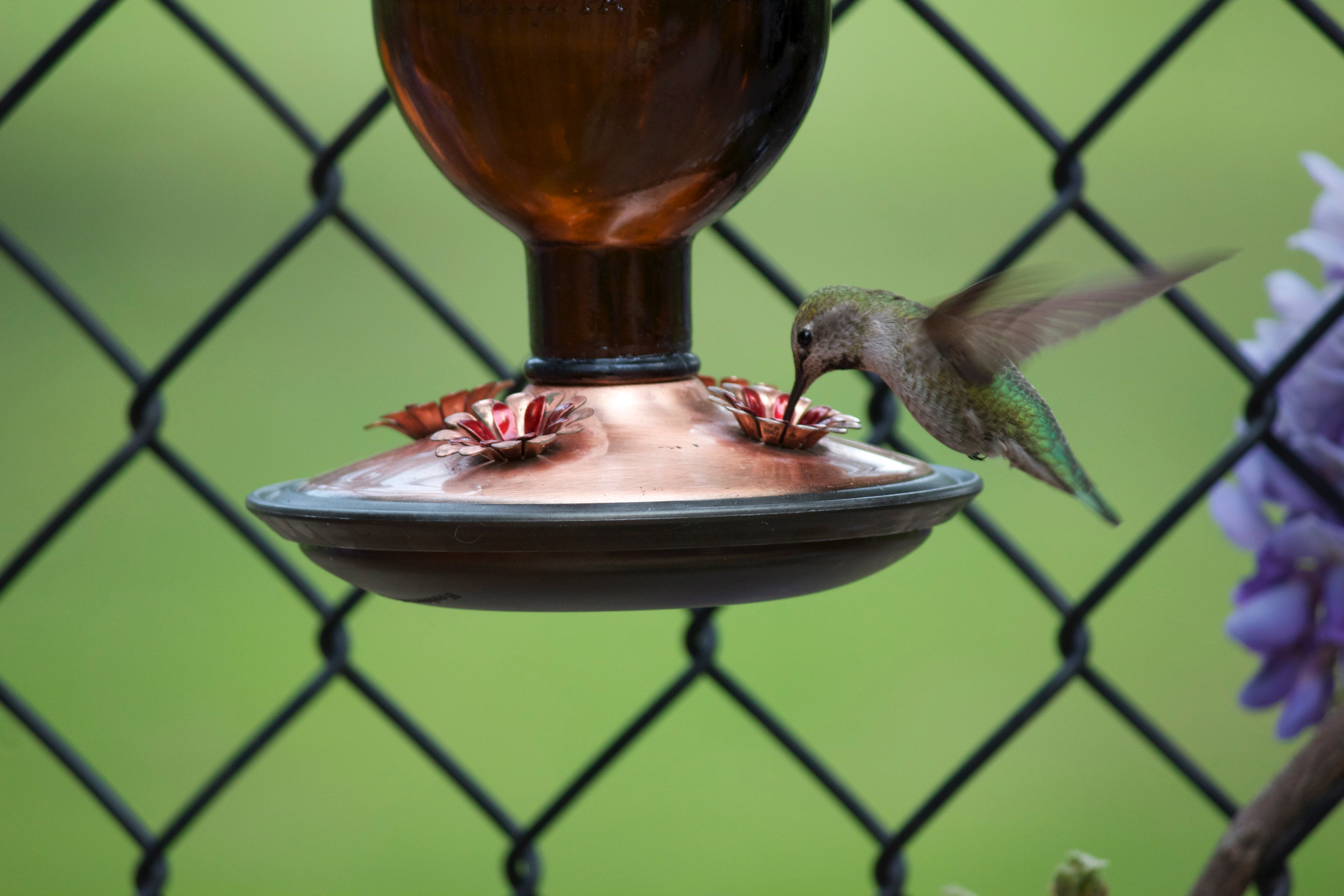Green hummingbird hovering at a backyard feeder.