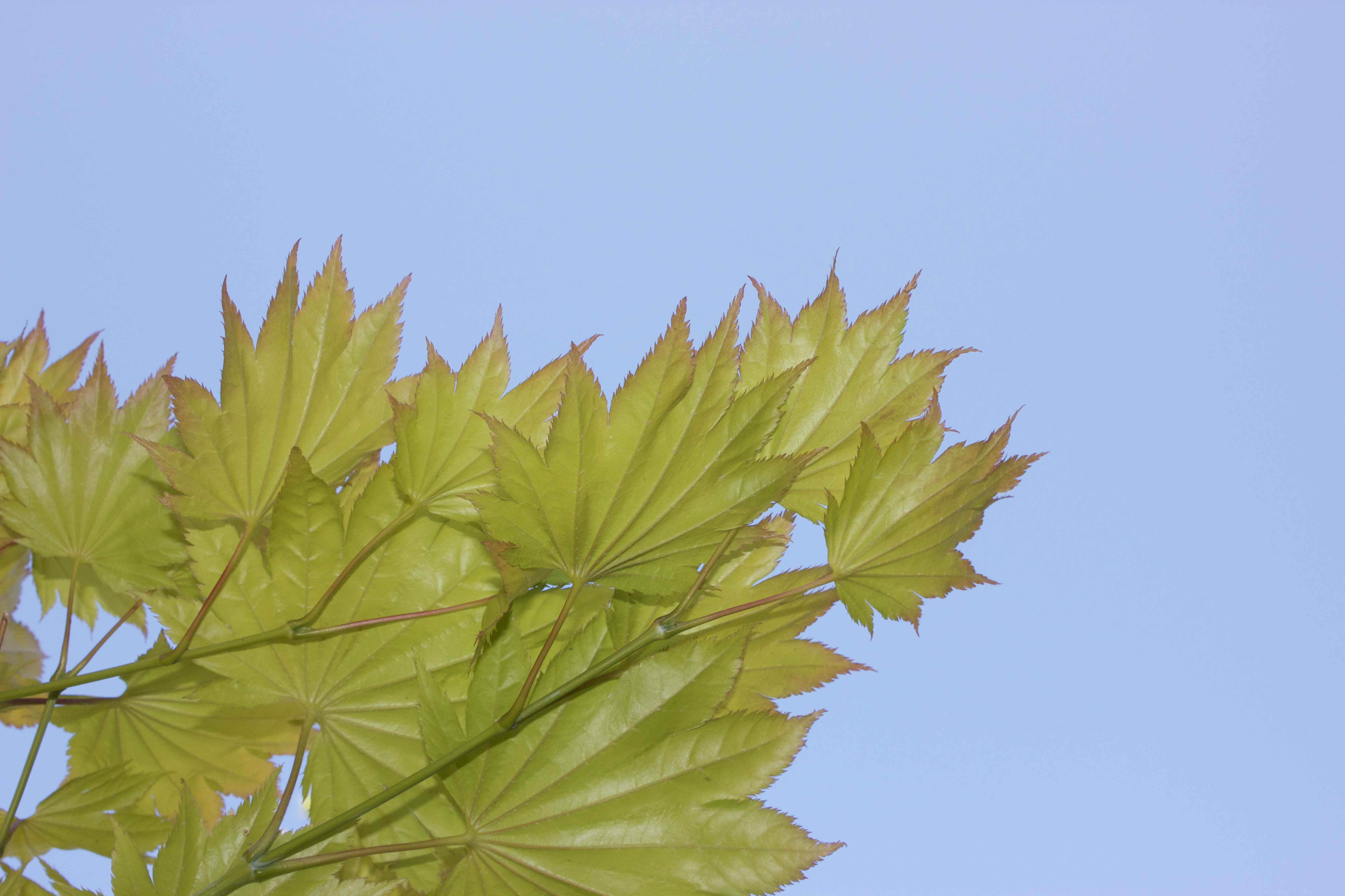 Bright yellow-green leaves against a clear blue sky.