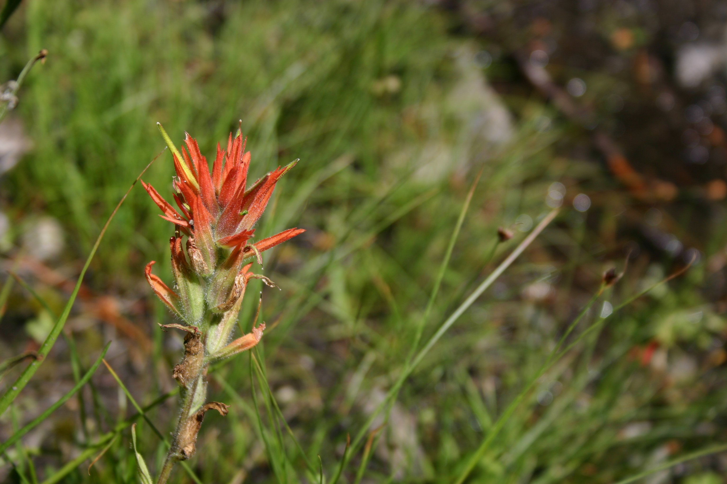A red wildflower near Mammoth Lakes. It resembles Indian Paintbrush, but I'm not sure what it is.