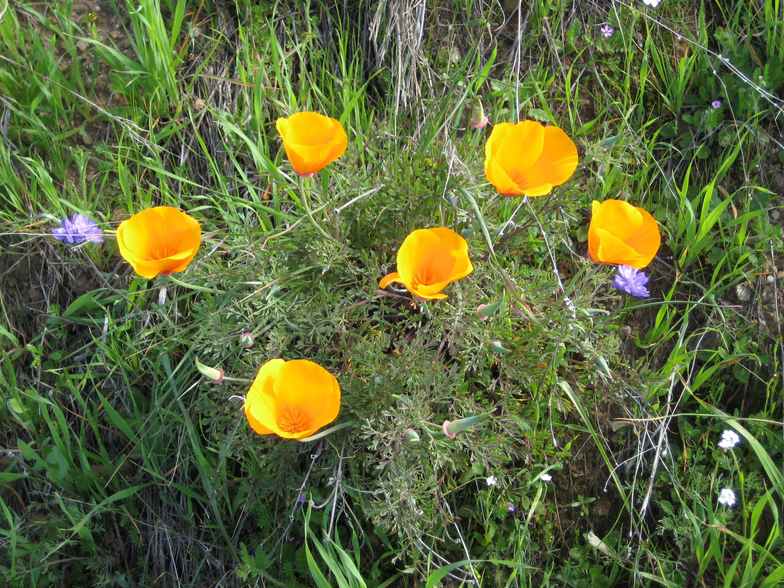 Bright orange California poppies.