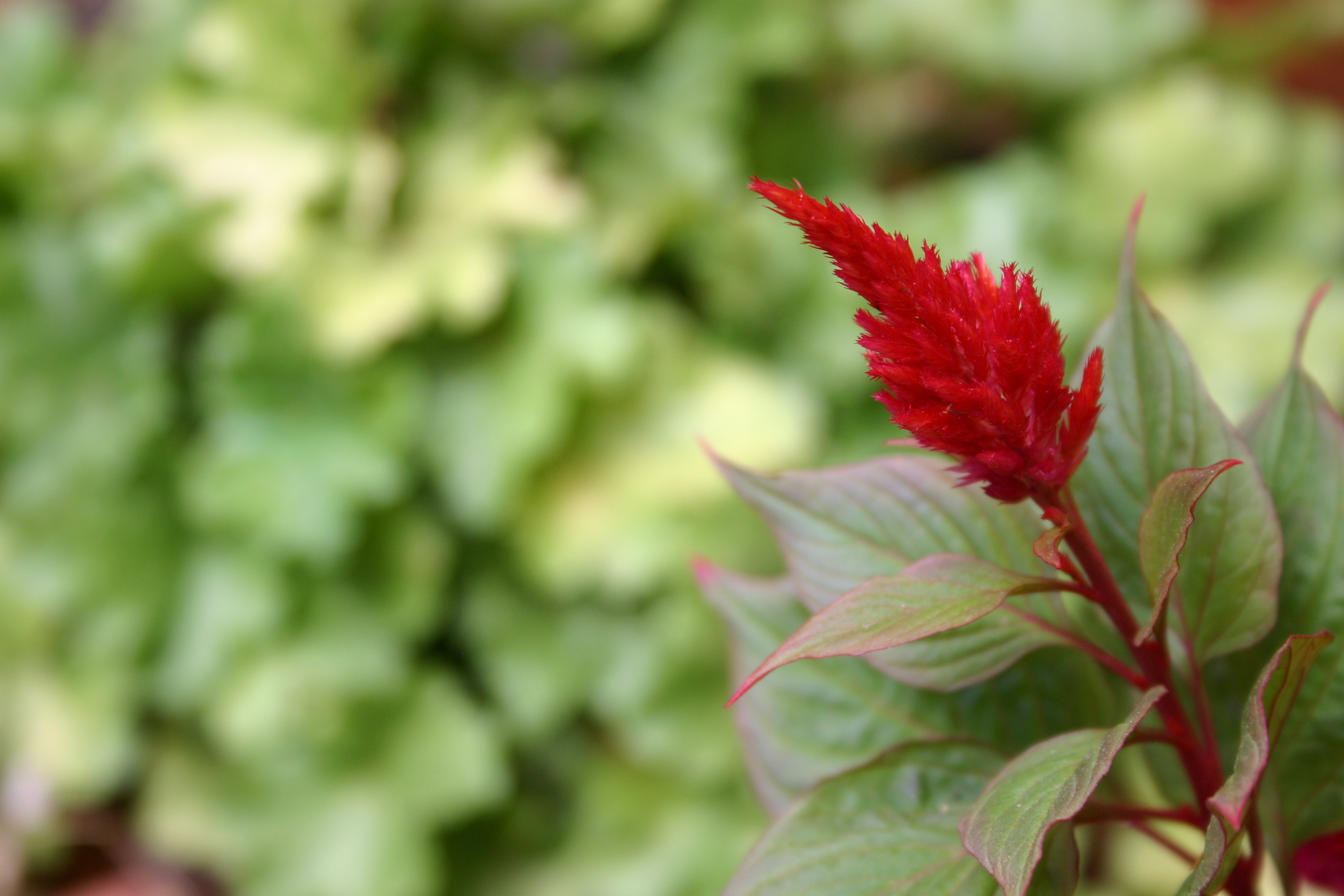 A red Celosia flower in front of a green leafy background.