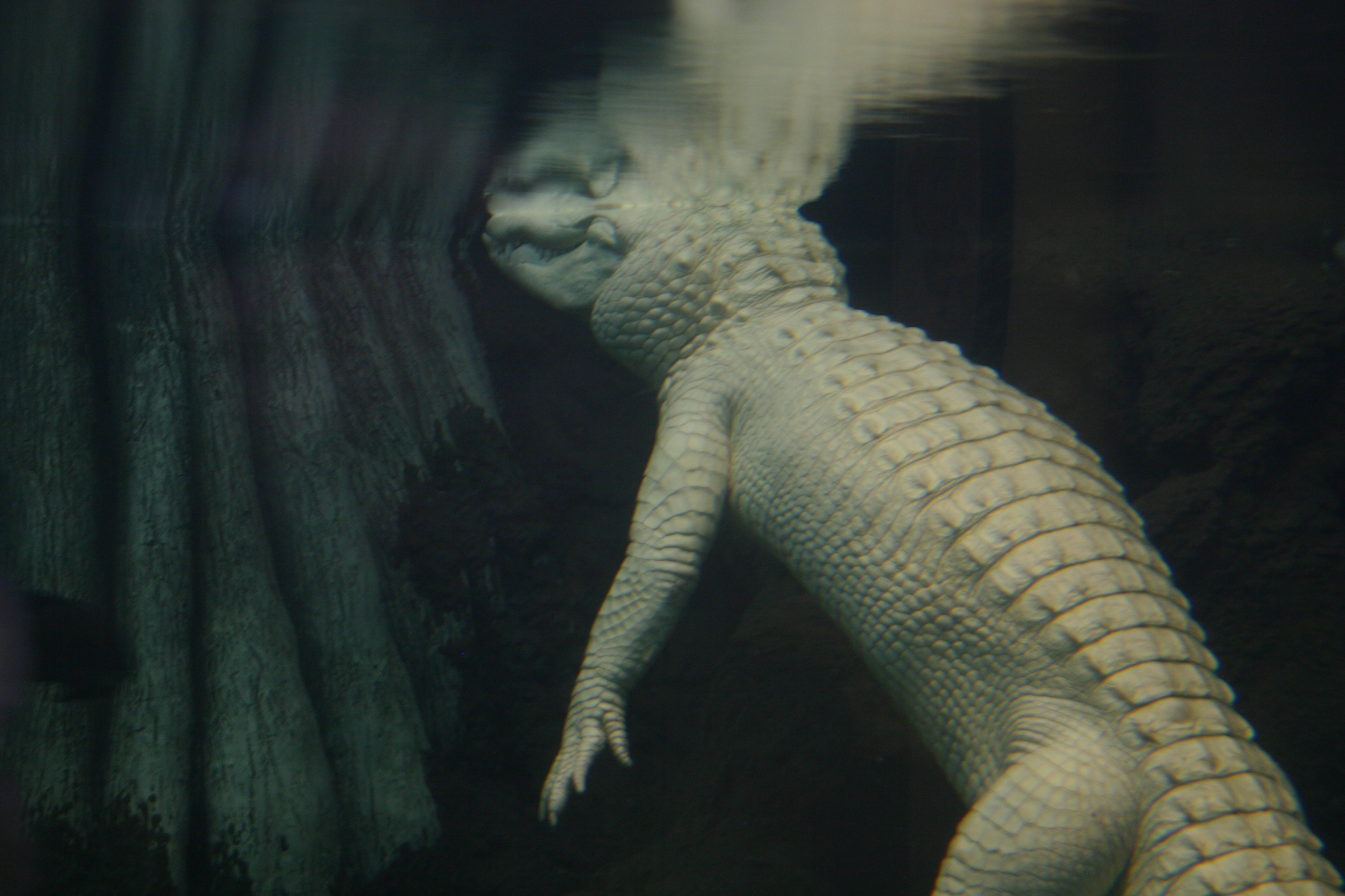 Claude the albino alligator, submerged under water.