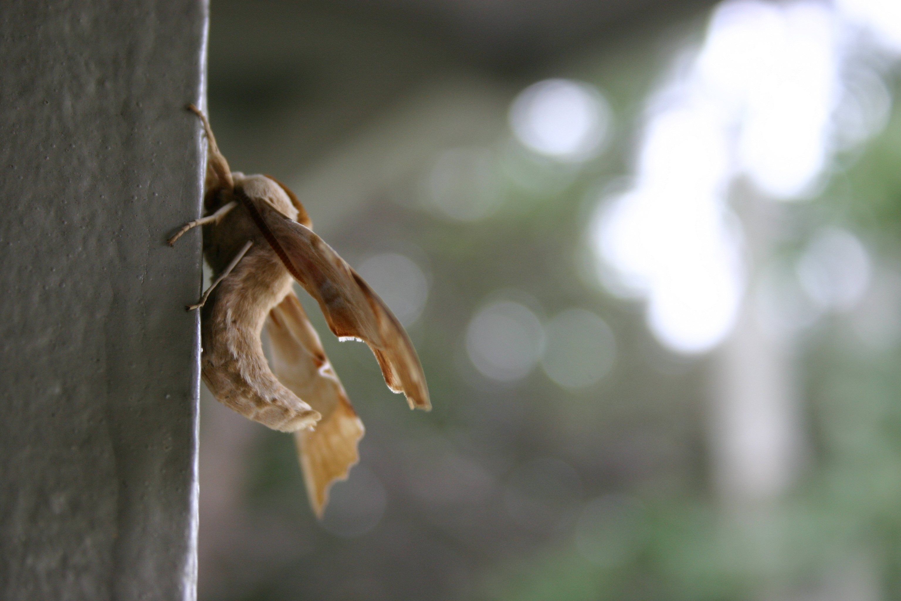 A brown-and-cream-colored moth with a curved body clings to a wall.
