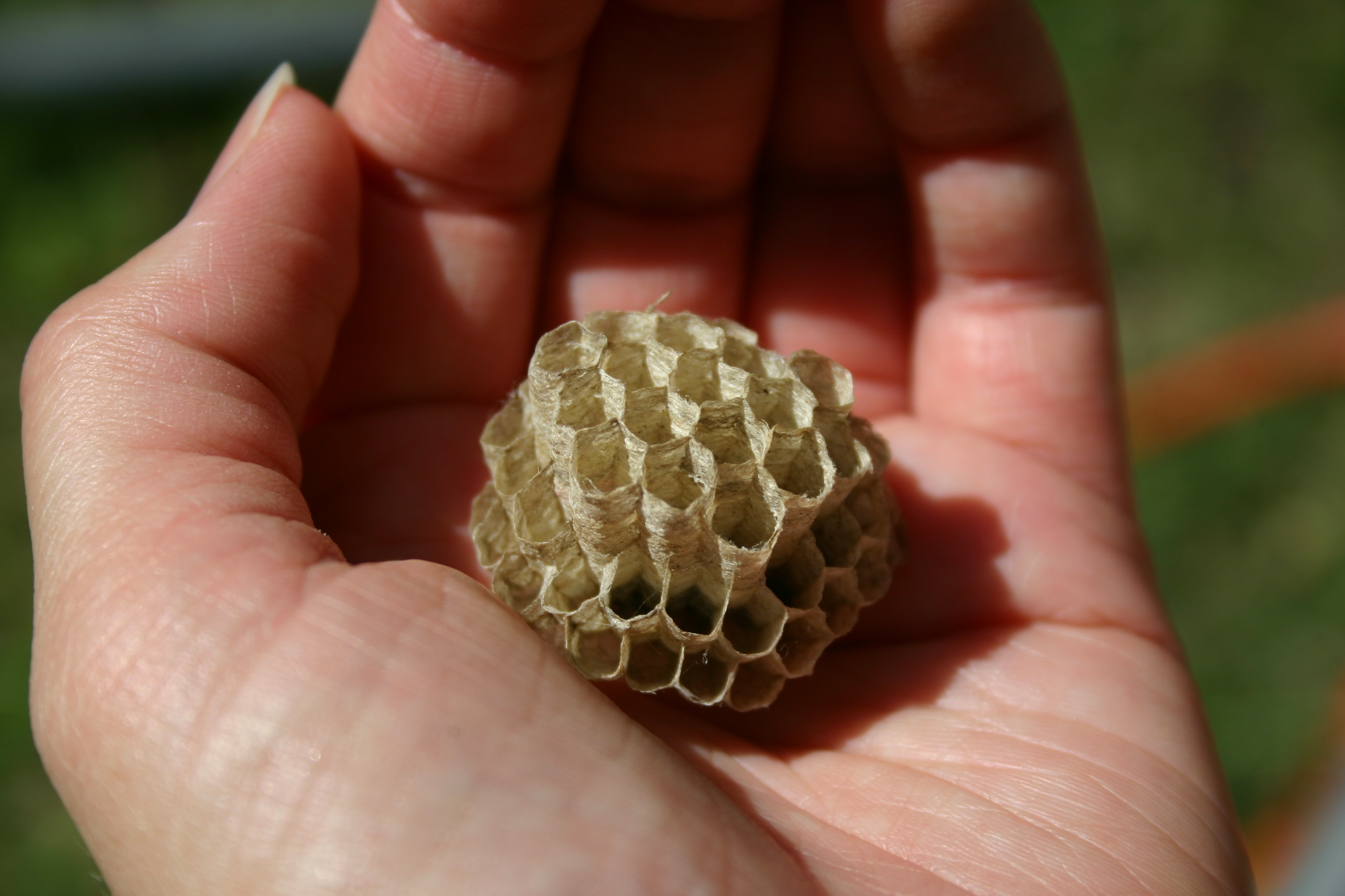 A vacant paper wasp nest held in the palm of my hand. The nest is constructed of open hexagonal cells in which the young develop.