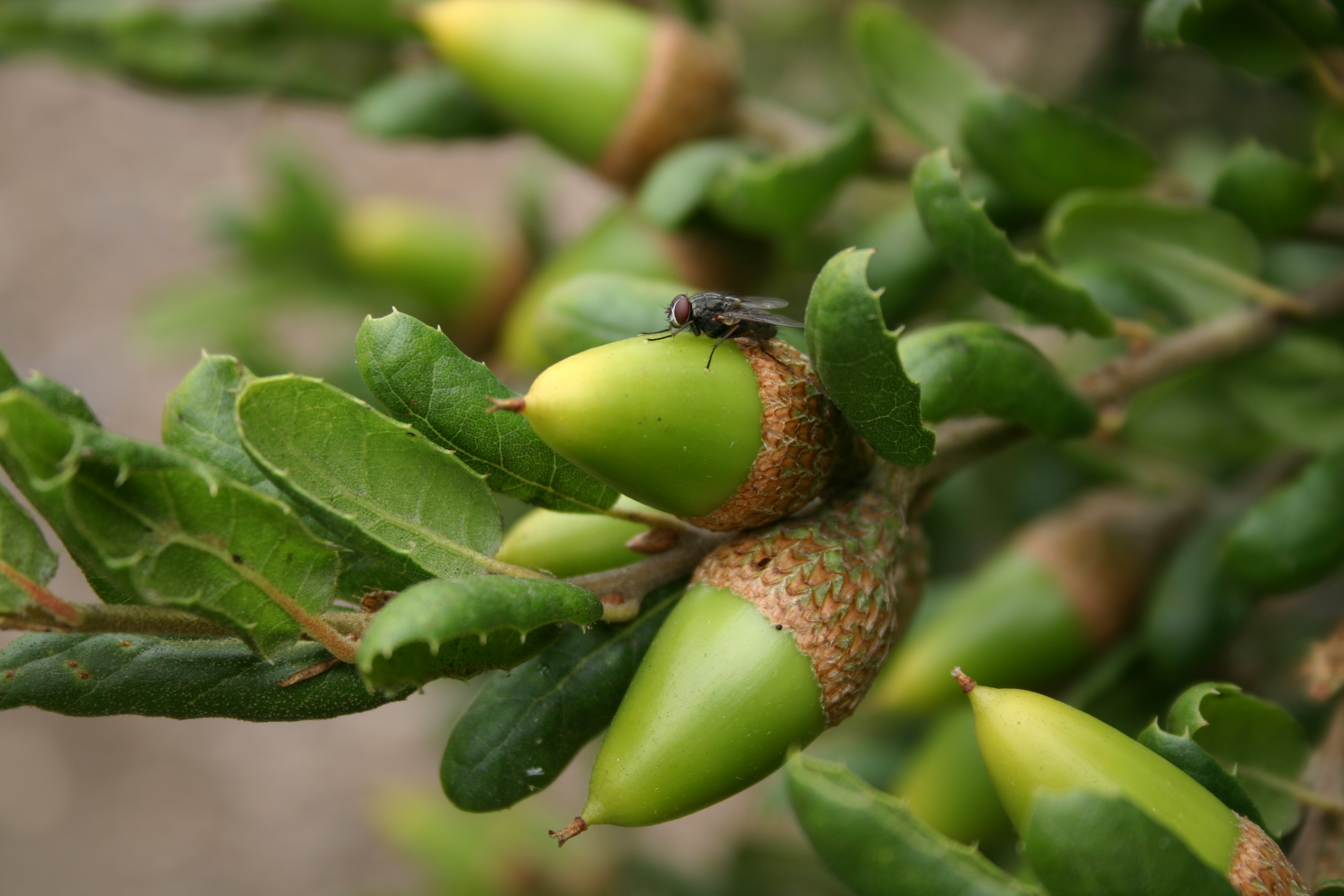 Macro of a fly, bright green acorns and oak leaves.