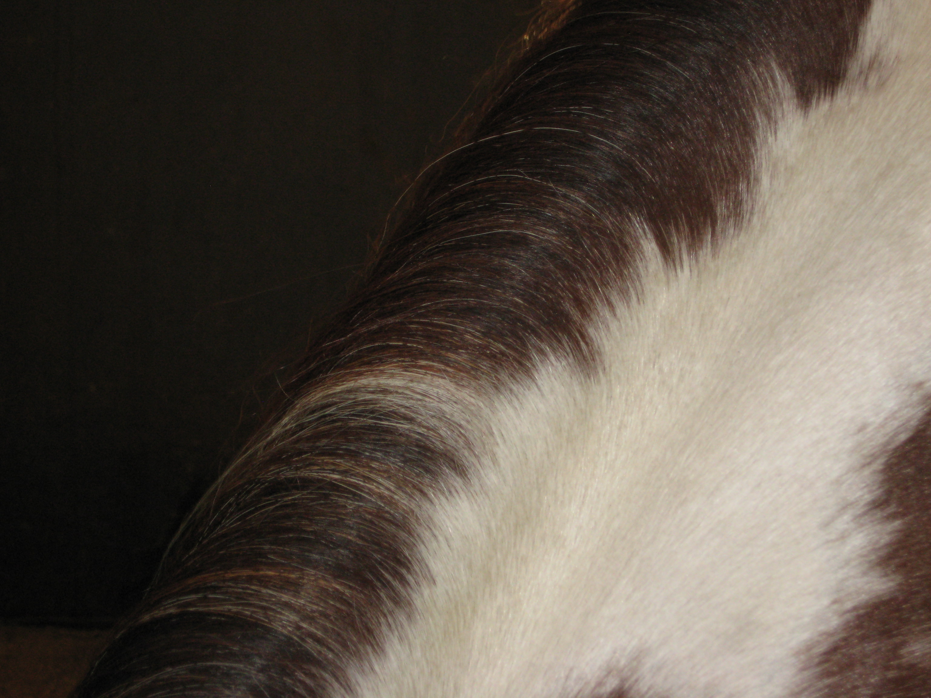 A closeup of a brown and white pinto horse's mane.
