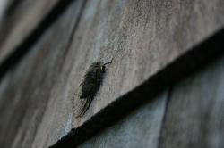 A live cicada on my house.