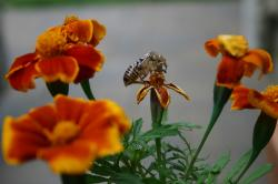 A shed cicada skin among orange Marigold flowers.