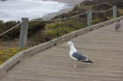 A male seagull and some other birds, standing on a coastal boardwalk.