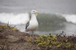 A male seagull, standing on a coastal cliff.