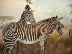 "Two Grevy's Zebras hang out on the ""African plain"" at the California Academy of Sciences."