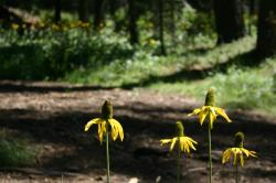 Yellow coneflowers (I think).