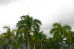 Palm trees against a gloomy overcast cloudy sky.