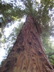 A towering redwood tree in the Santa Cruz Mountains.