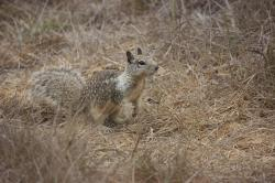 Ground squirrel, alert in the scrub brush.