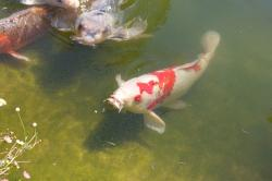 A white, orange and black koi fish in a shallow green pond. You can see the barbels (slender, whisker-like sensory organs near the fish's mouth).