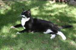 The majestic tuxedo cat in his natural habitat (the lawn).