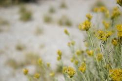 Yellow wildflowers (and some sort of flying insect) at Mono Lake.