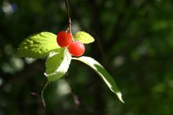 Red berries and green leaves.